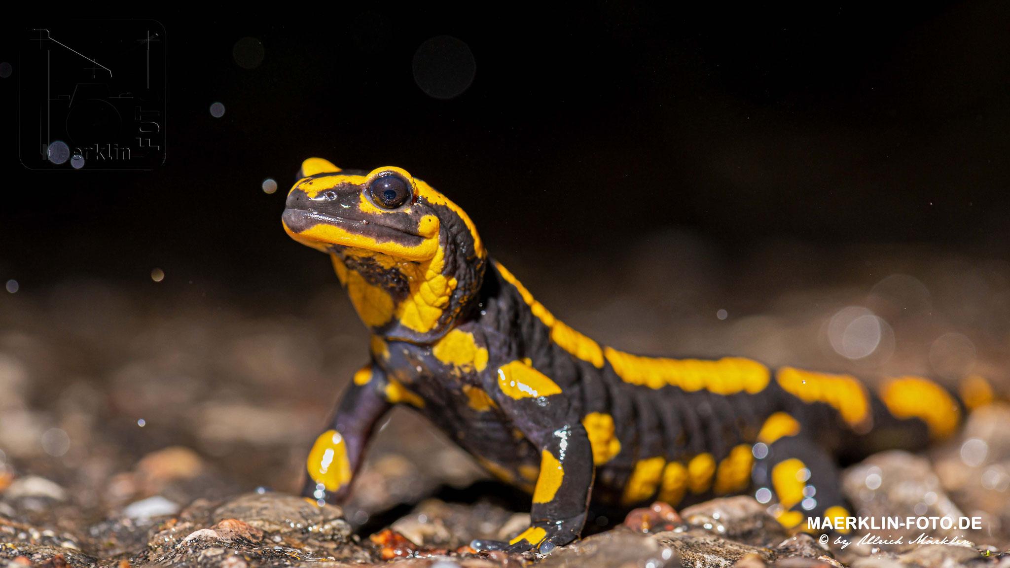 Feuersalamander (Salamandra salamandra), Heckengäu