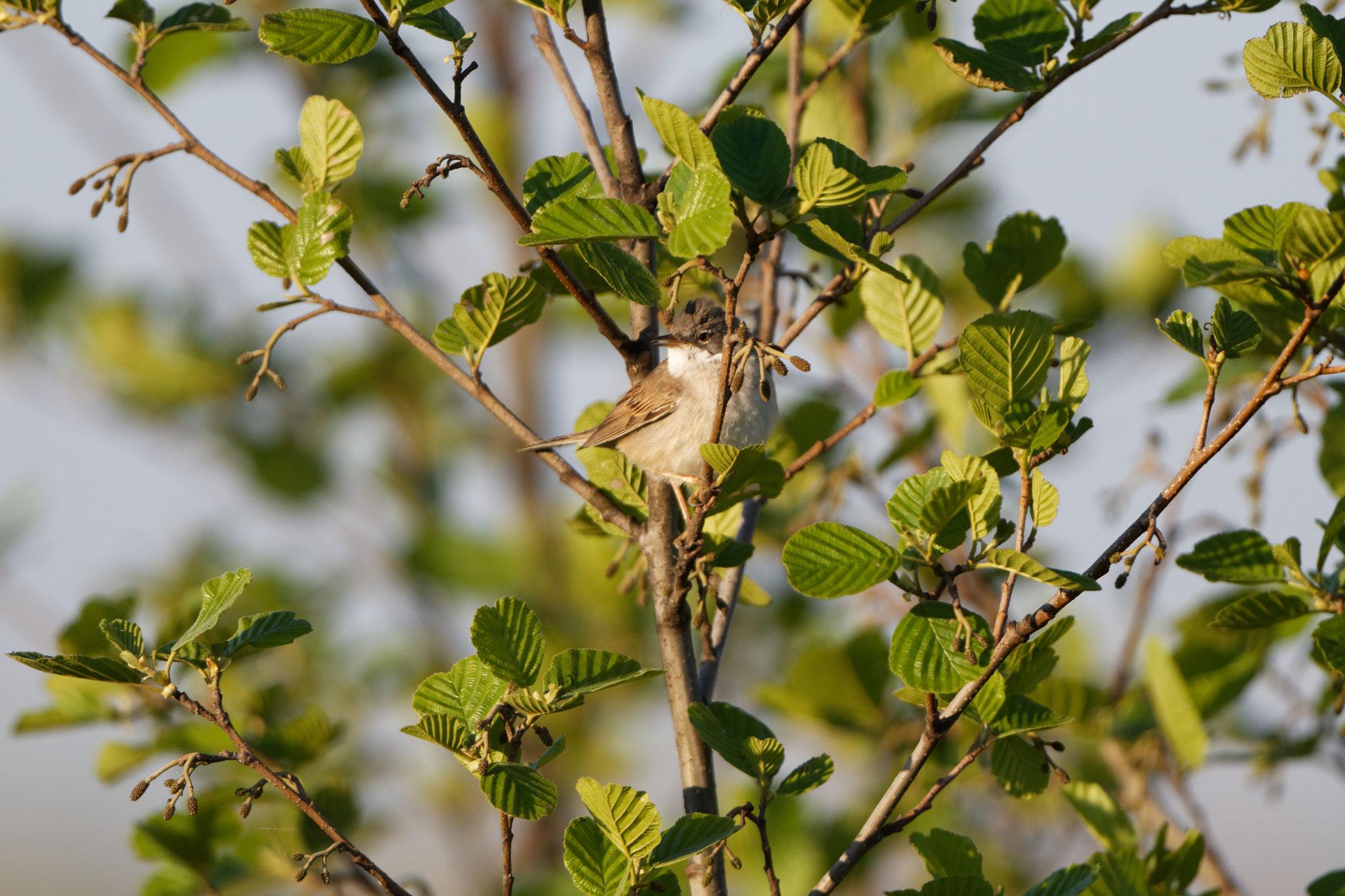 Dorngrasmücke (NABU-Bilddatenbank)