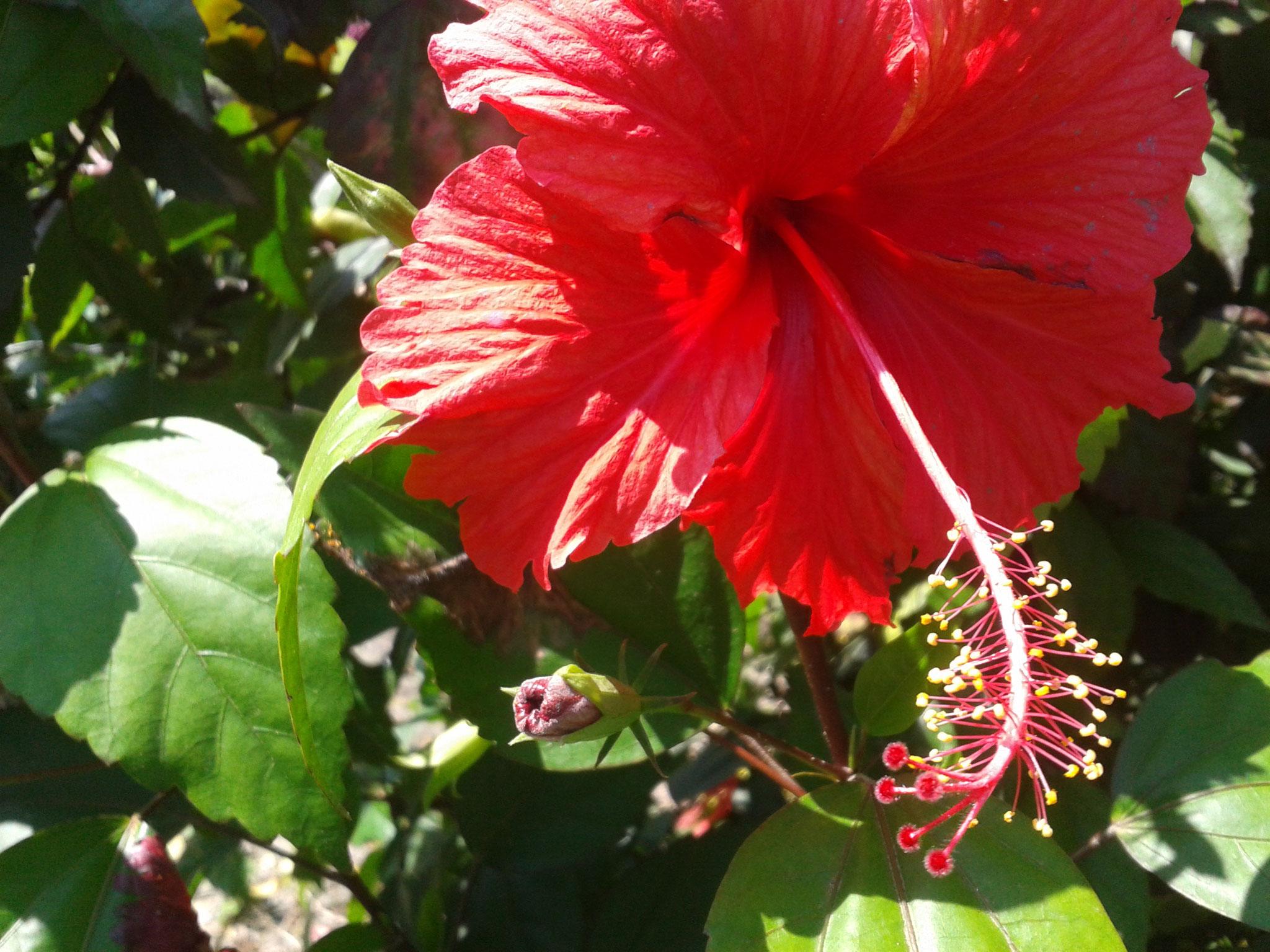Un Hysbiscus au jardin tropical