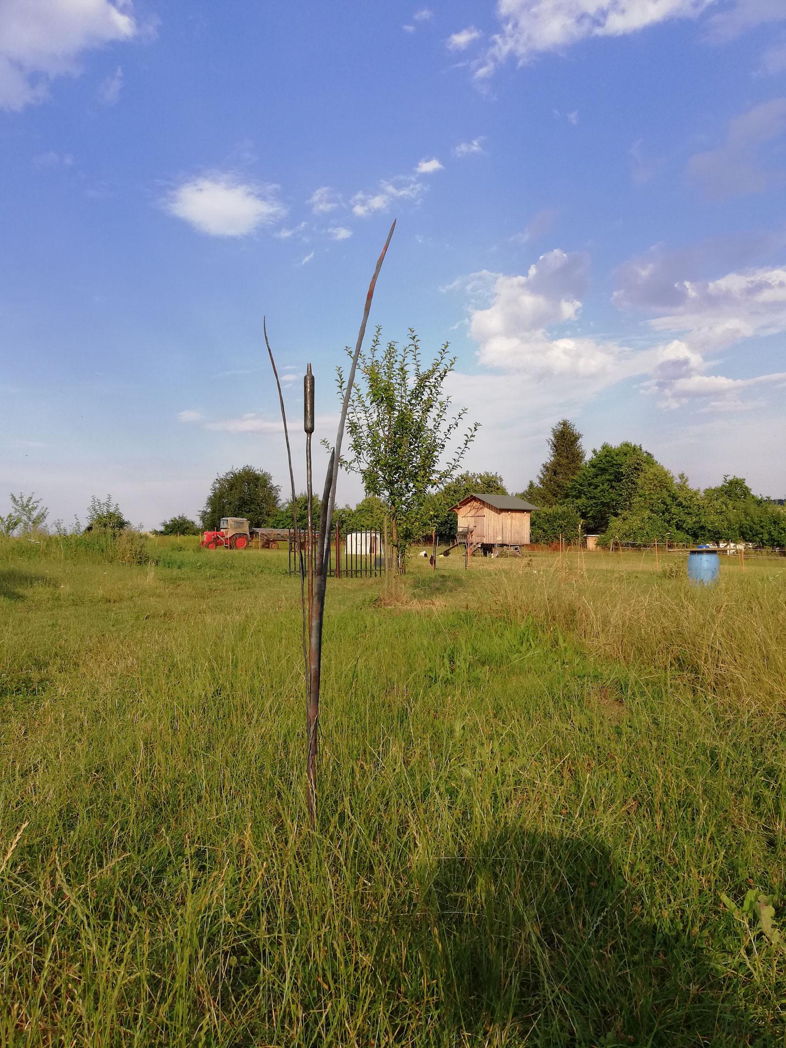 Rohrkolben als Gartenschmuck