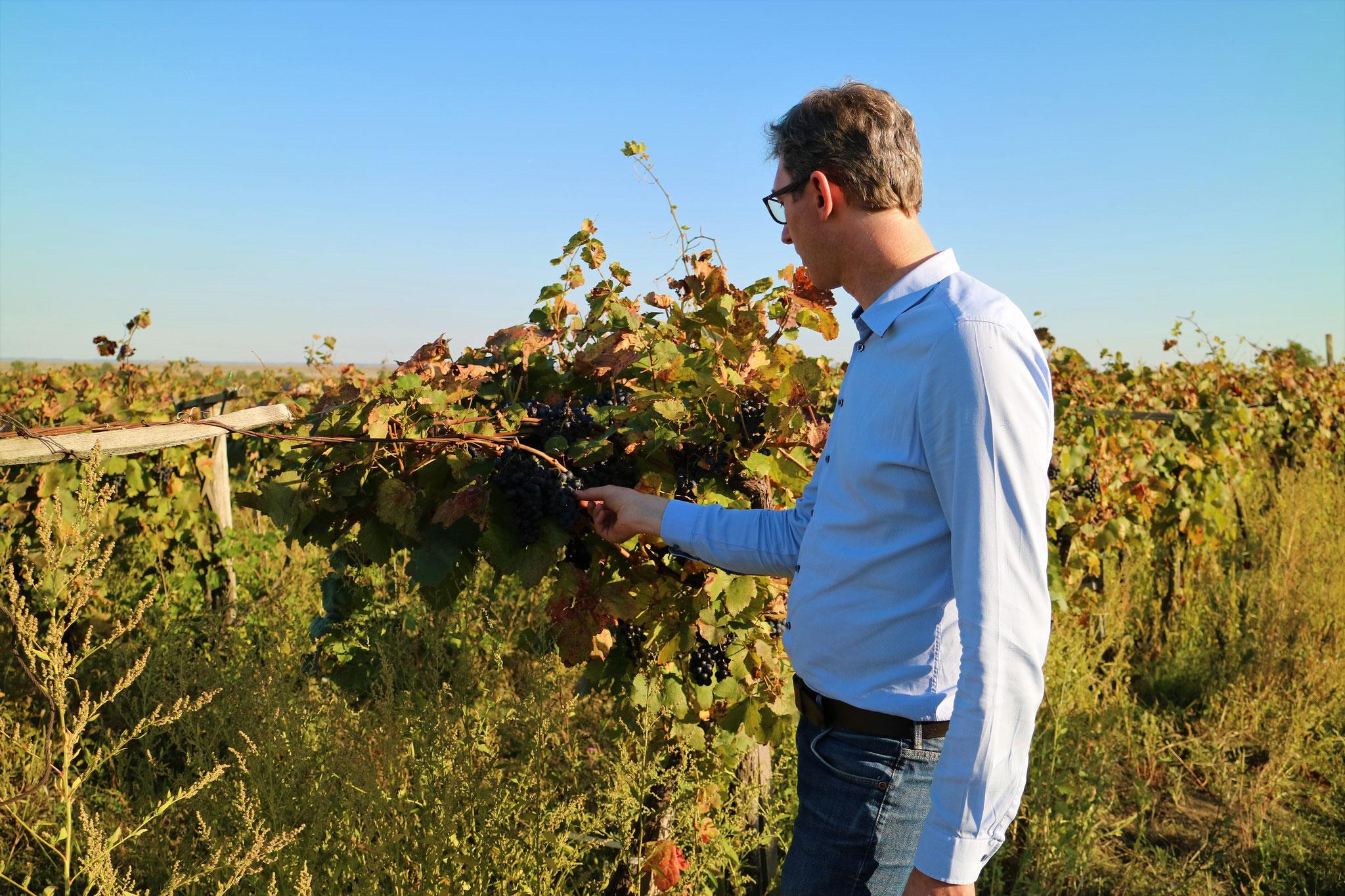 Aus diesen Trauben MUSS ein guter Wein entstehen!
