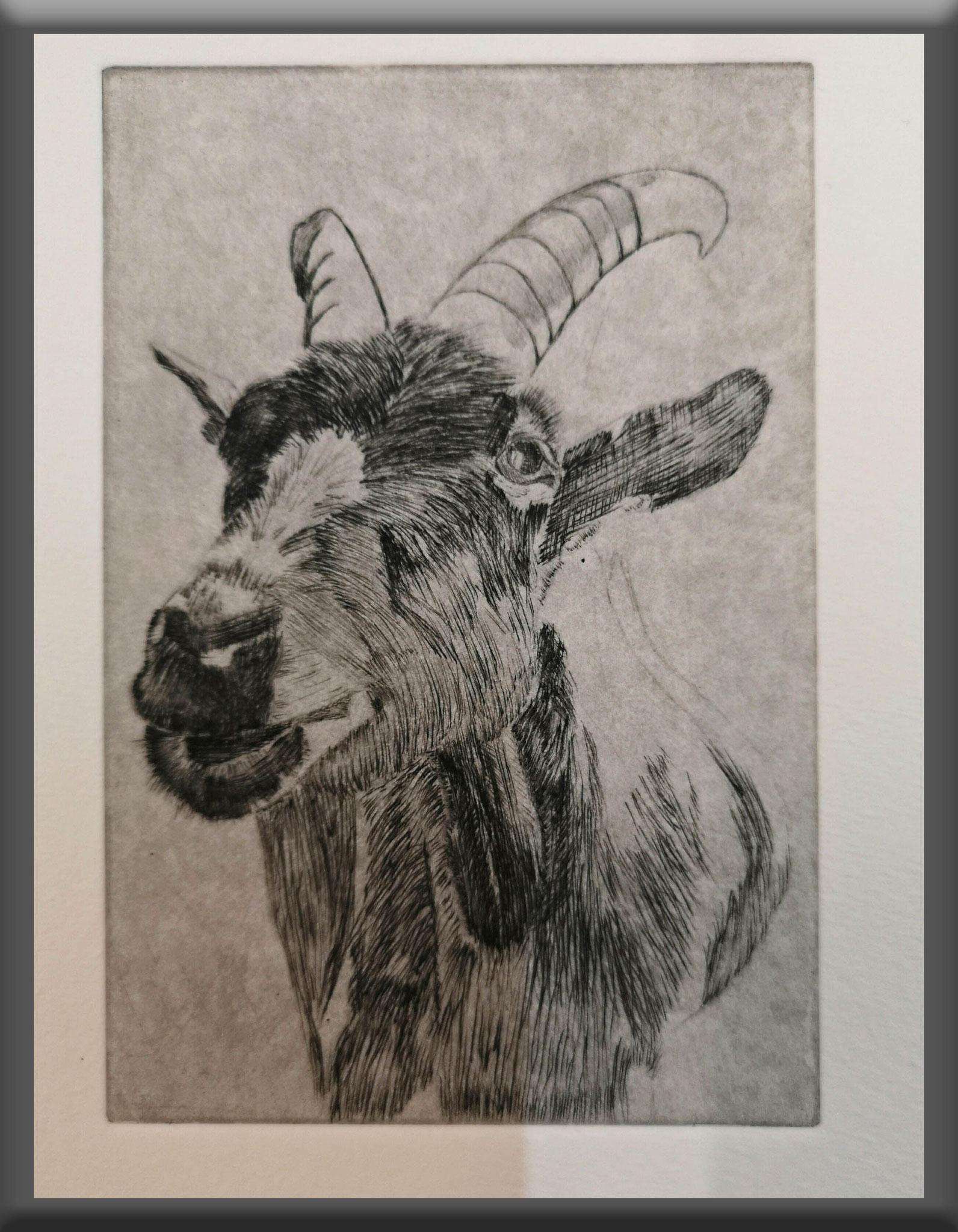 """""""Ziege""""  Kaltnadelradierung 2019  15 cm x 10 cm  auf 21 x 15 cm Büttenpapier"""