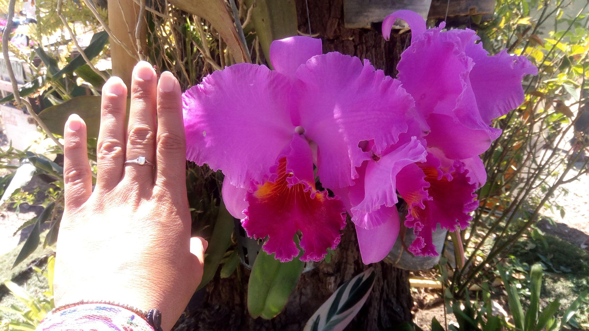 Cette fleur d'orchidée est plus grosse que ma main
