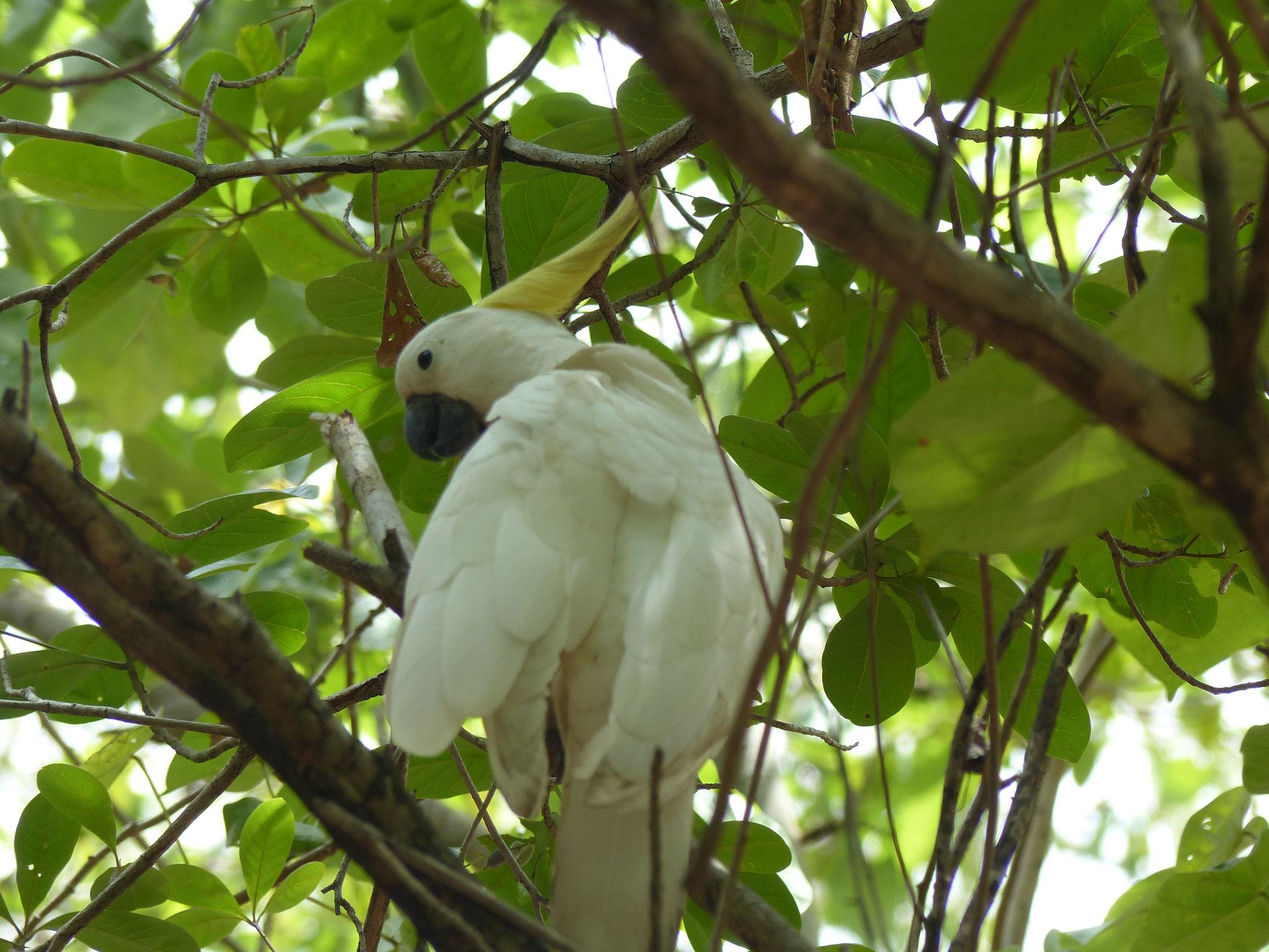 On vous présente le Cockatoo! Présent presque partout en Australie
