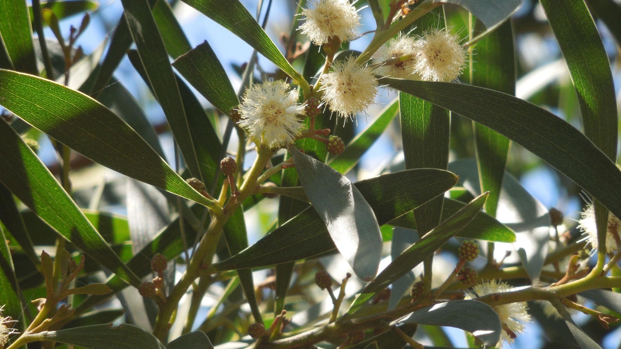 メラノキシロンアカシヤの花