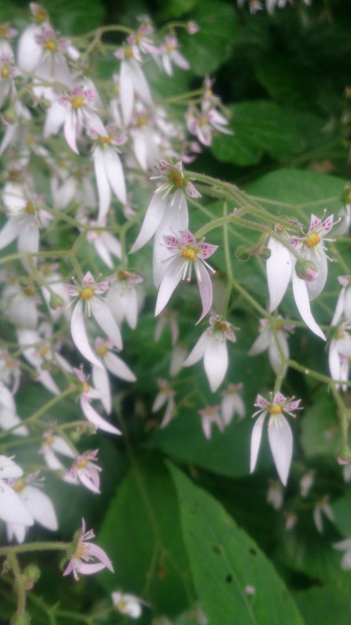 ユキノシタ(花のアップ)