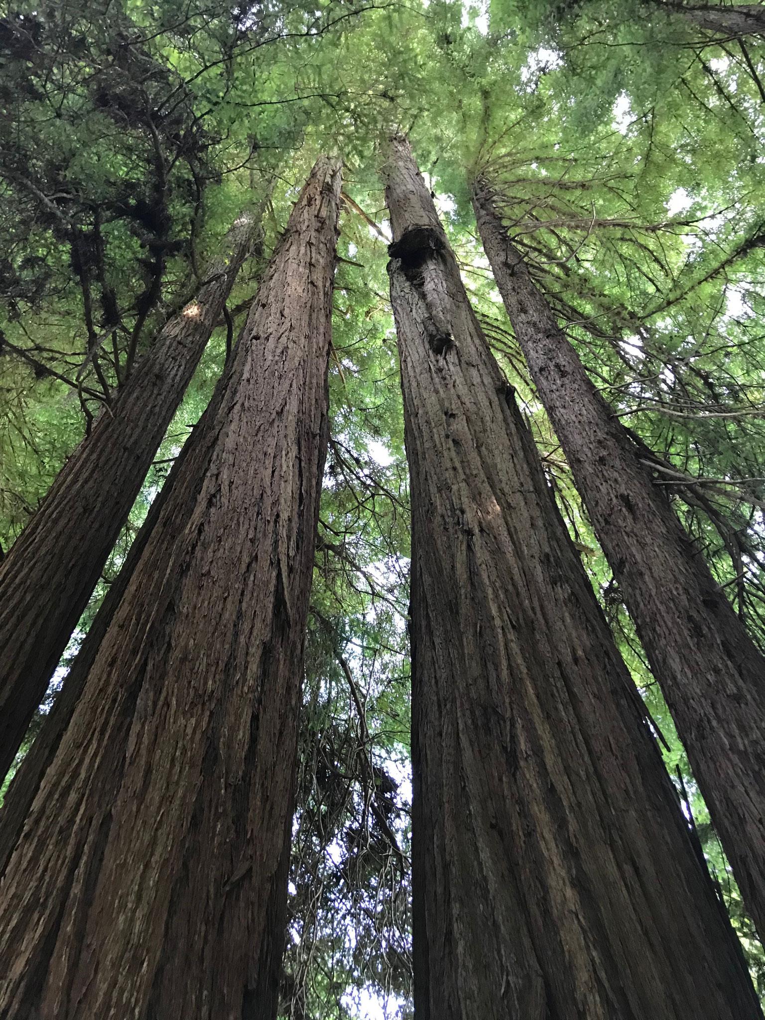 Ein mystischer Weg zwischen gigantischen Baumriesen durch.