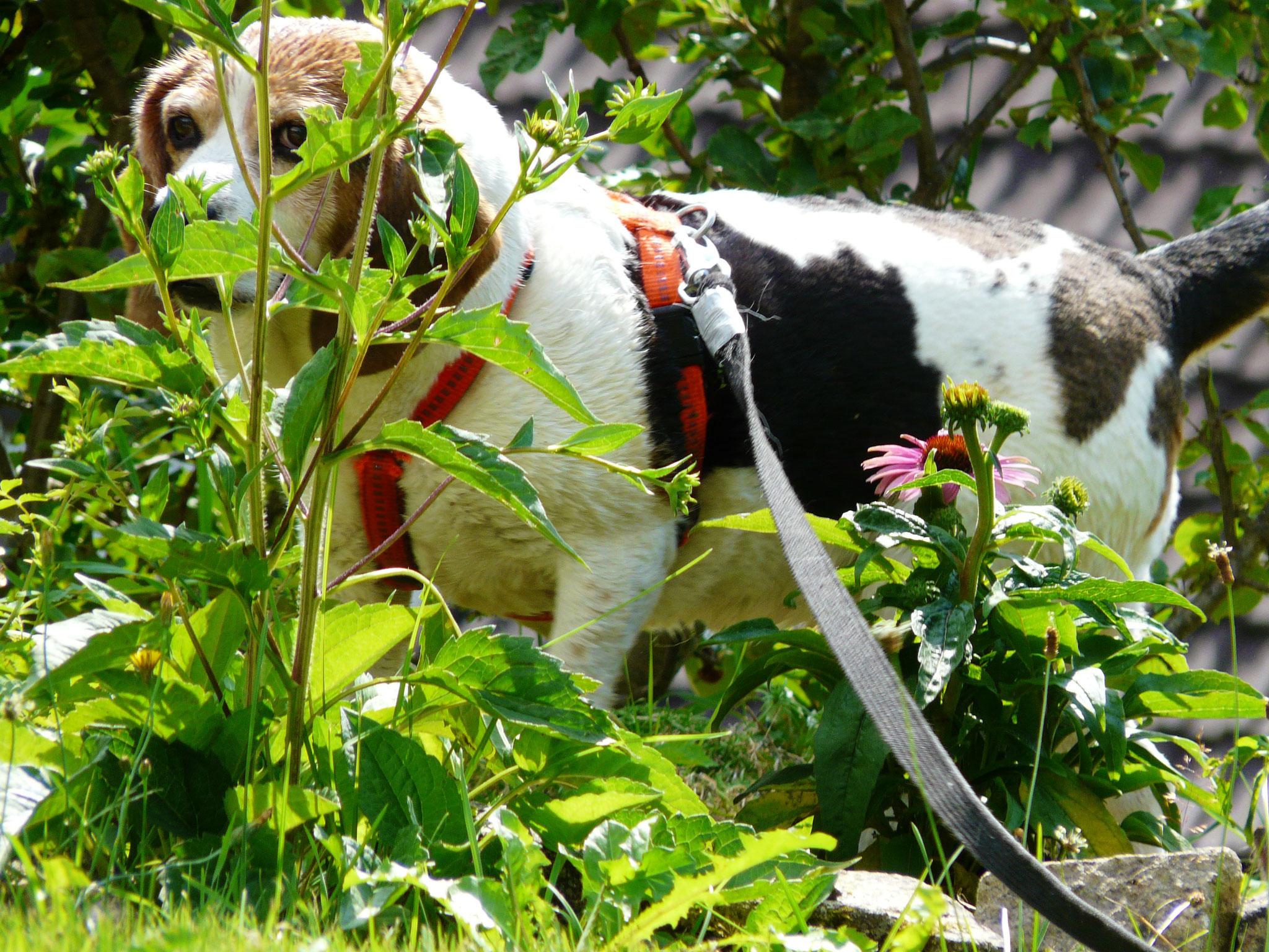...Liesa, die unseren gesamten Garten erschnüffelt....