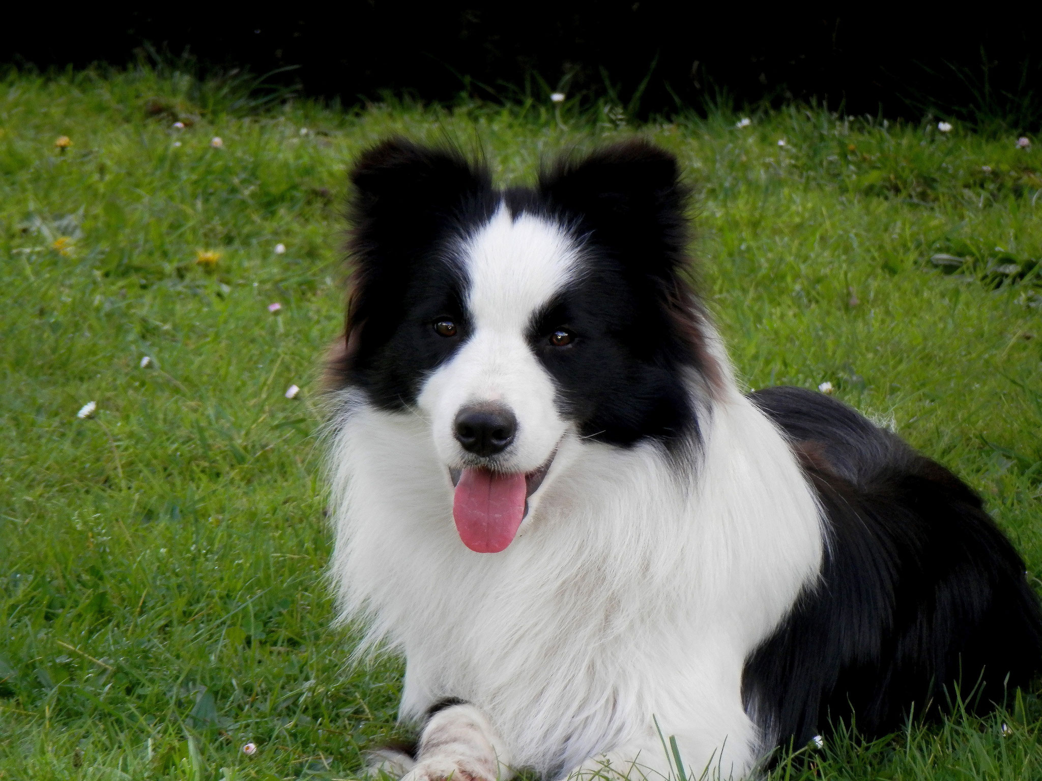 D B Farm Border Collies Criadores de Border Co...