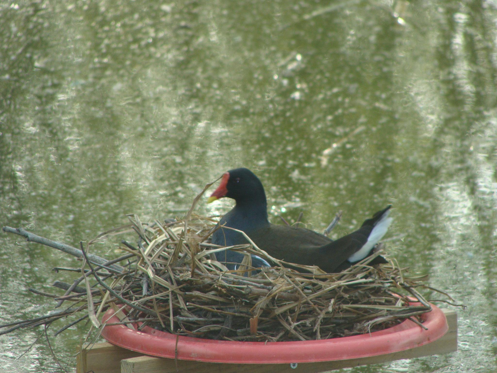 poule d'eau sur son nid