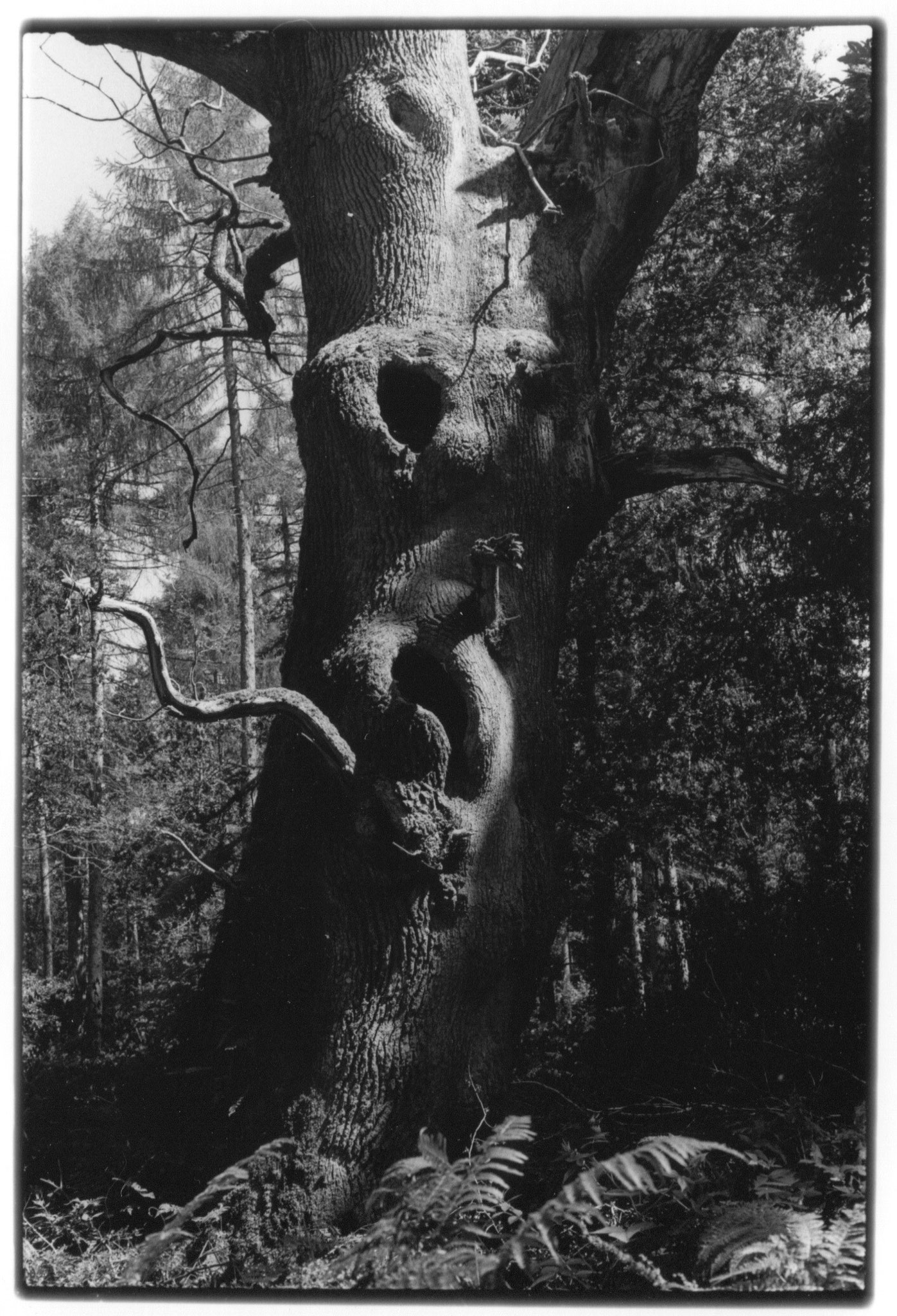 """""""Chêne, forêt de Savernake"""", photographie argentique, 17x24cm Alice Courvoisier"""