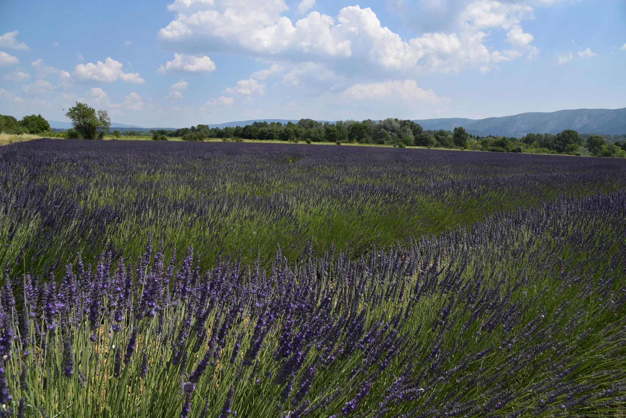 Lavendelfeld Mitte Juni 2021