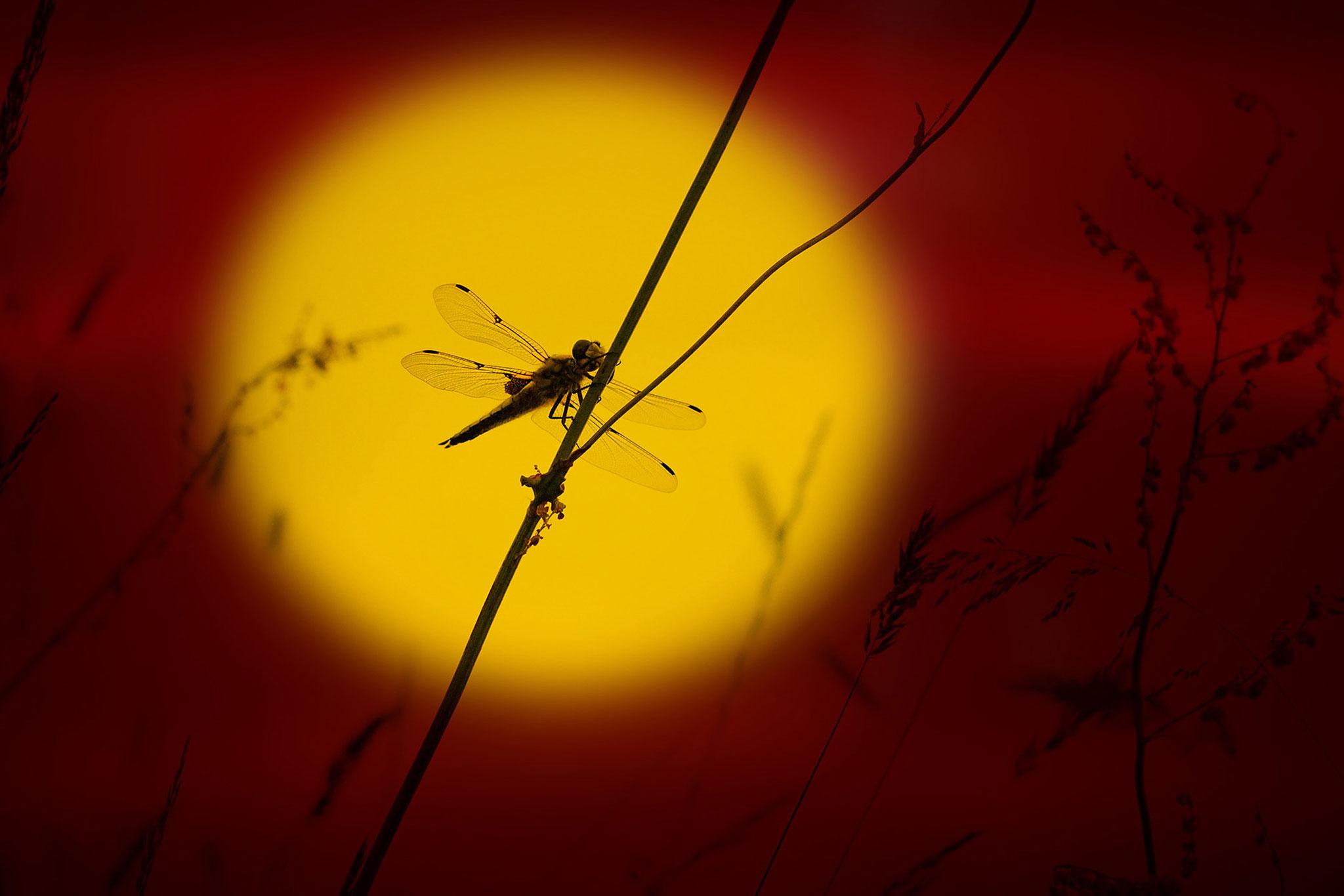 Libellule à 4 tâches sur les bords de l'Evre, photo Dominique Drouet