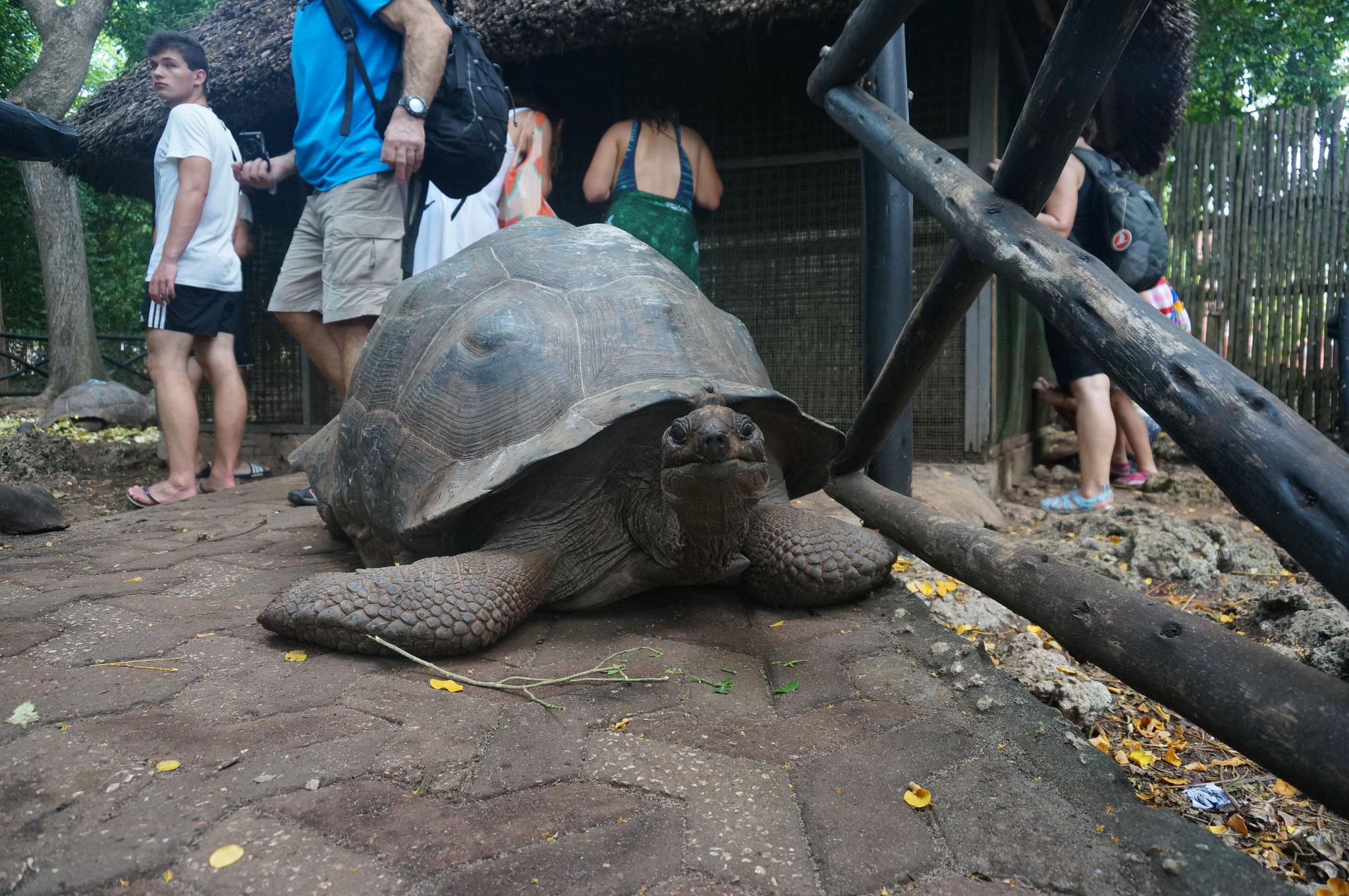 Riesenlandschldkröte auf Prison Island