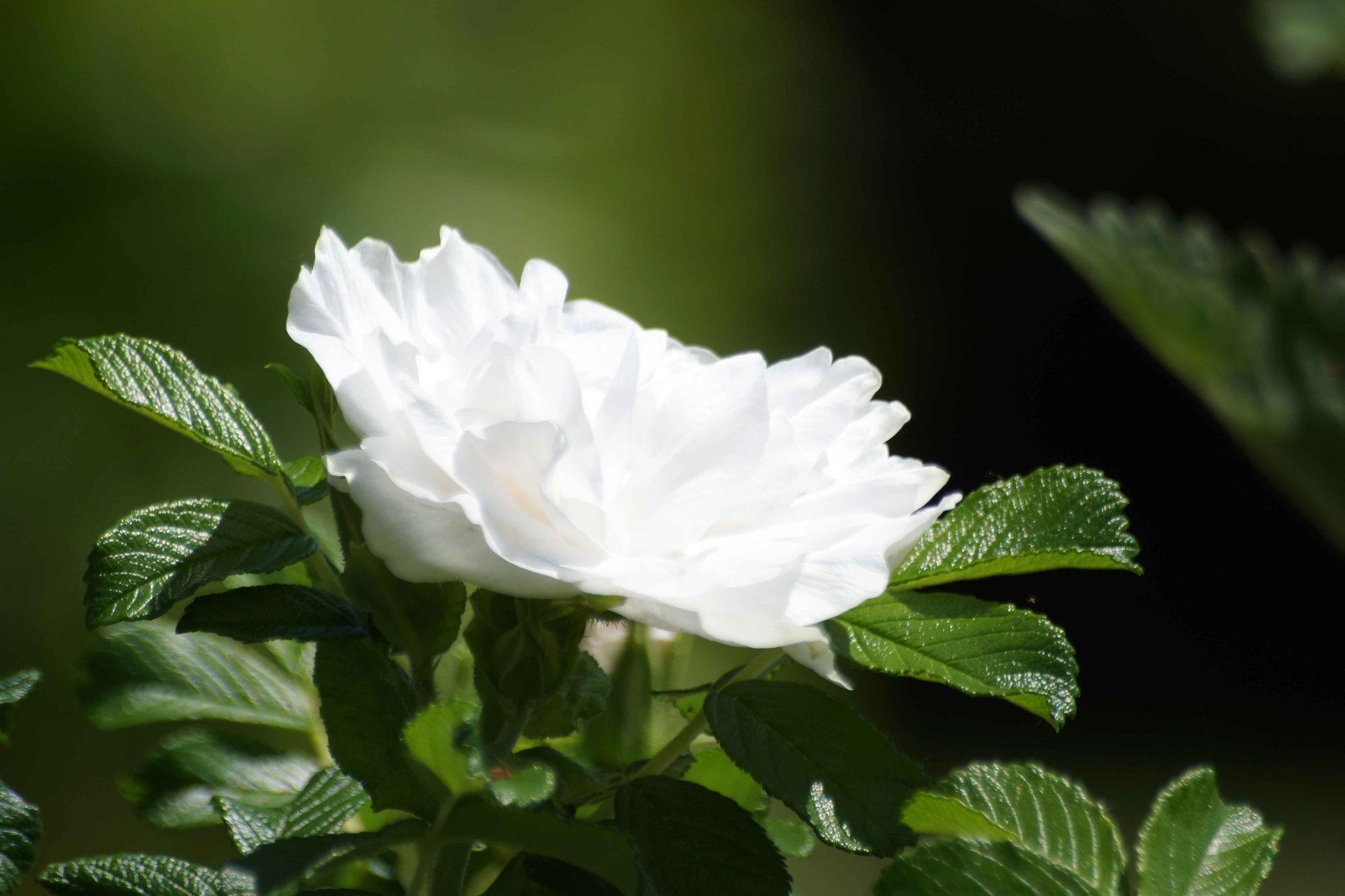 blancheur parfumée