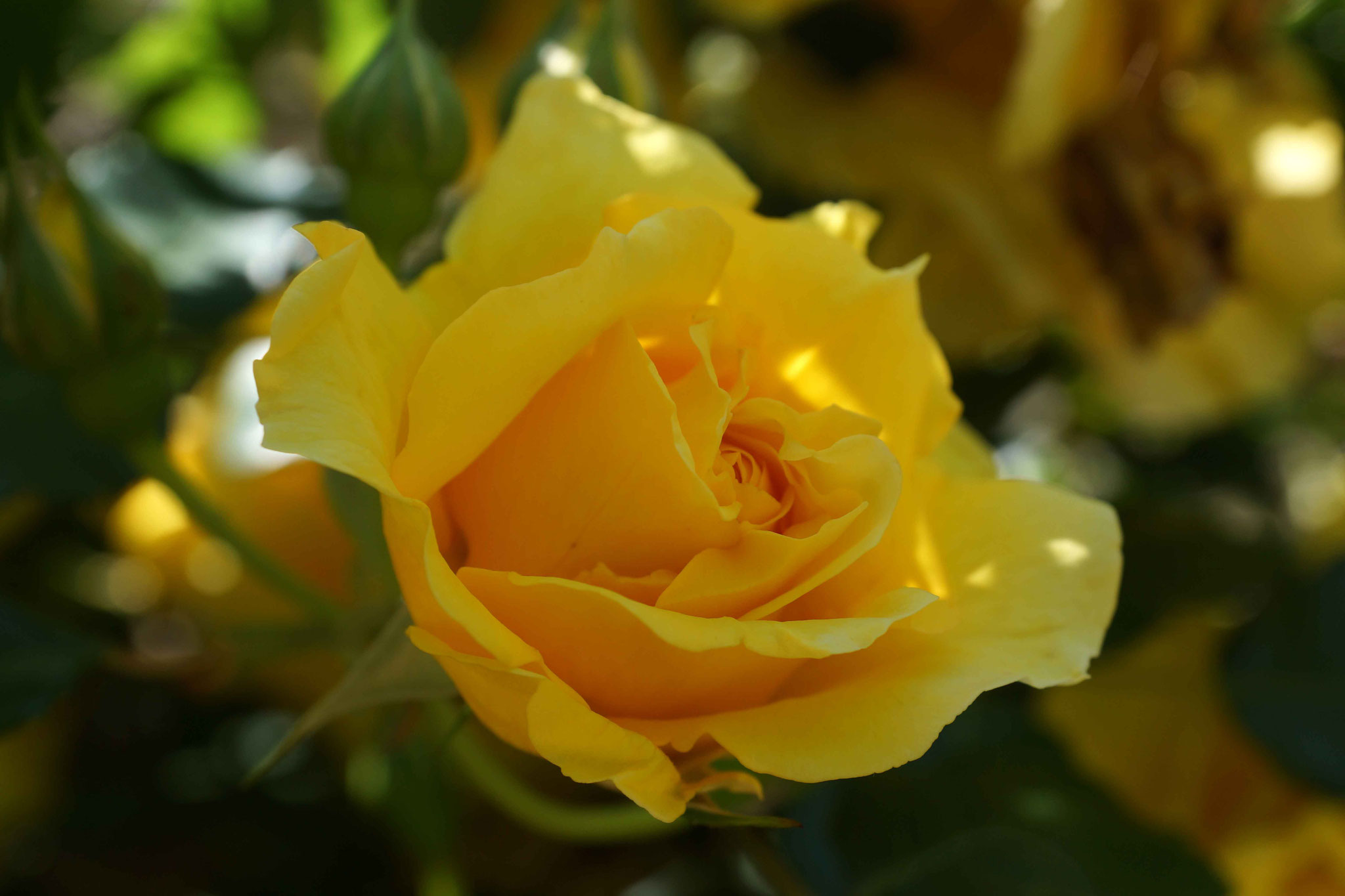 jaune tendresse