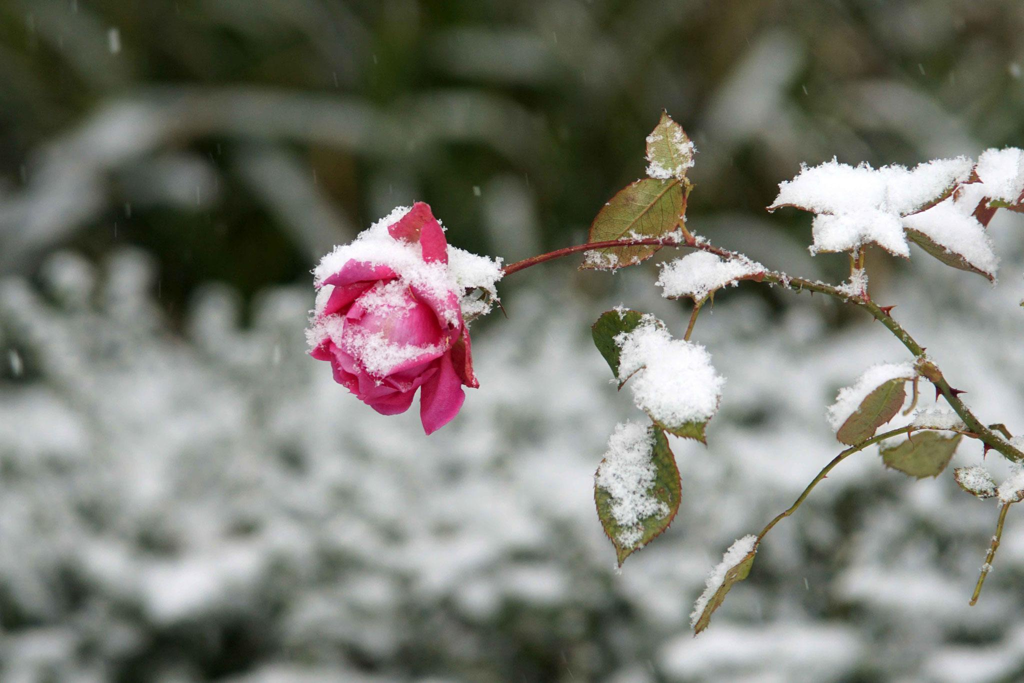 Rose de Sainte Anne sous la neige