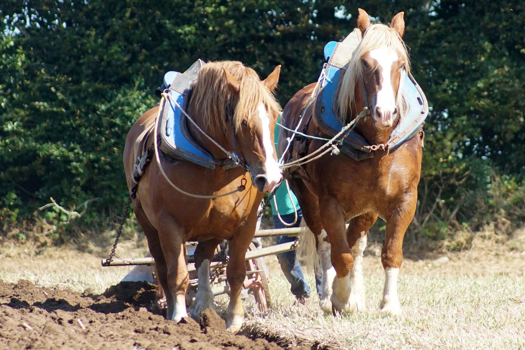 Fête du cheval de Trait à Plougras, DSC07927