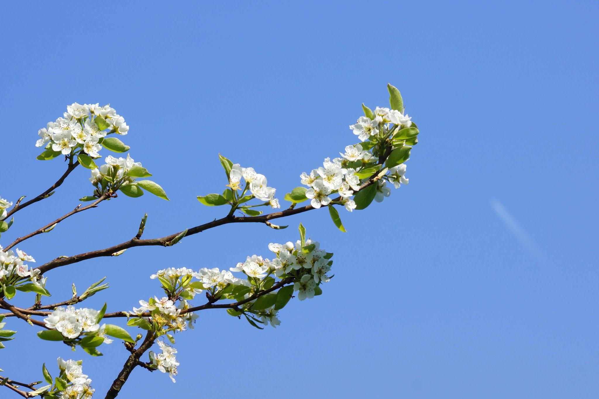 Fleurs de Pommier, DSC00716