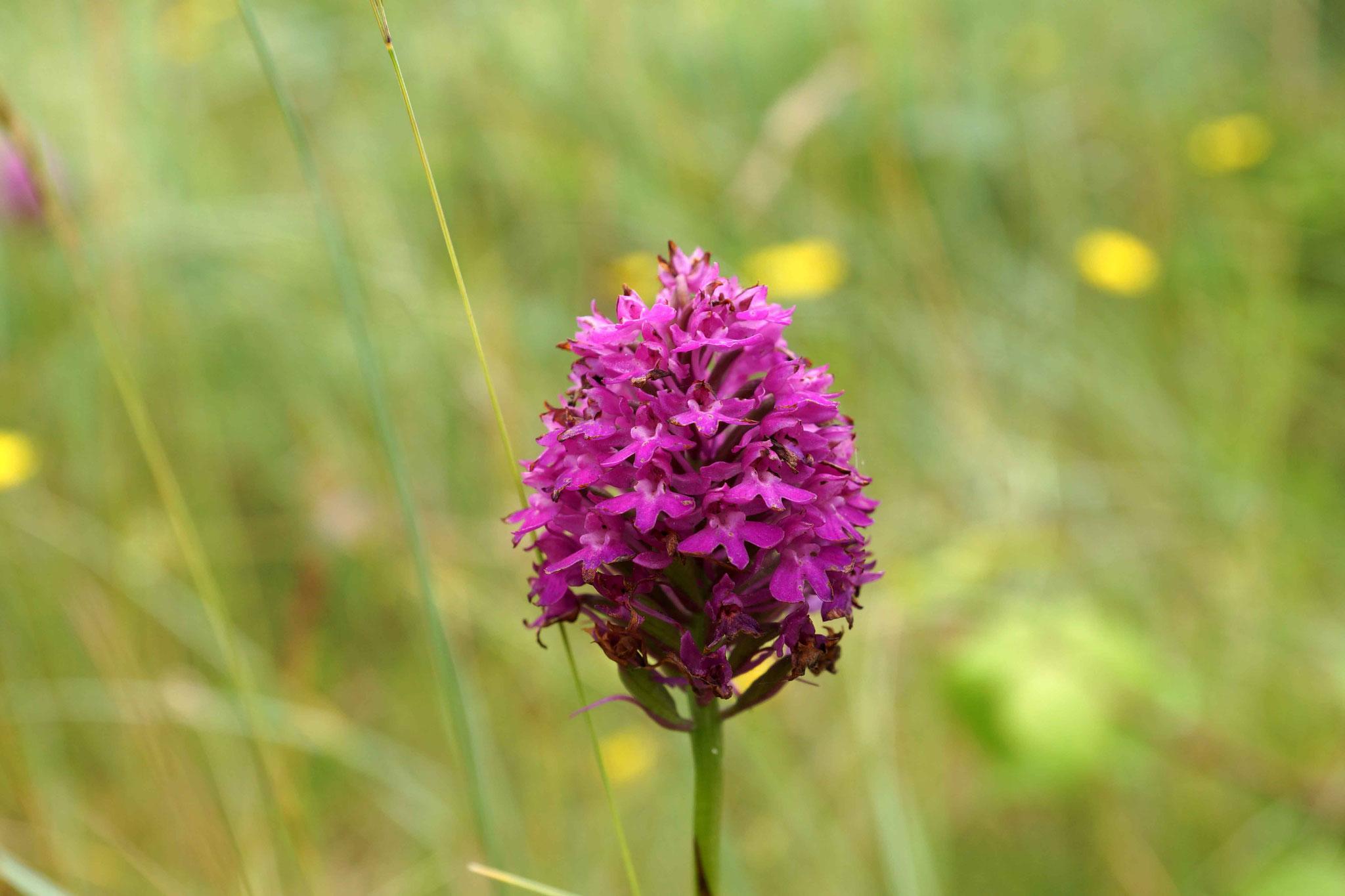 53 (Orchidée de Saint Michel en Grève)