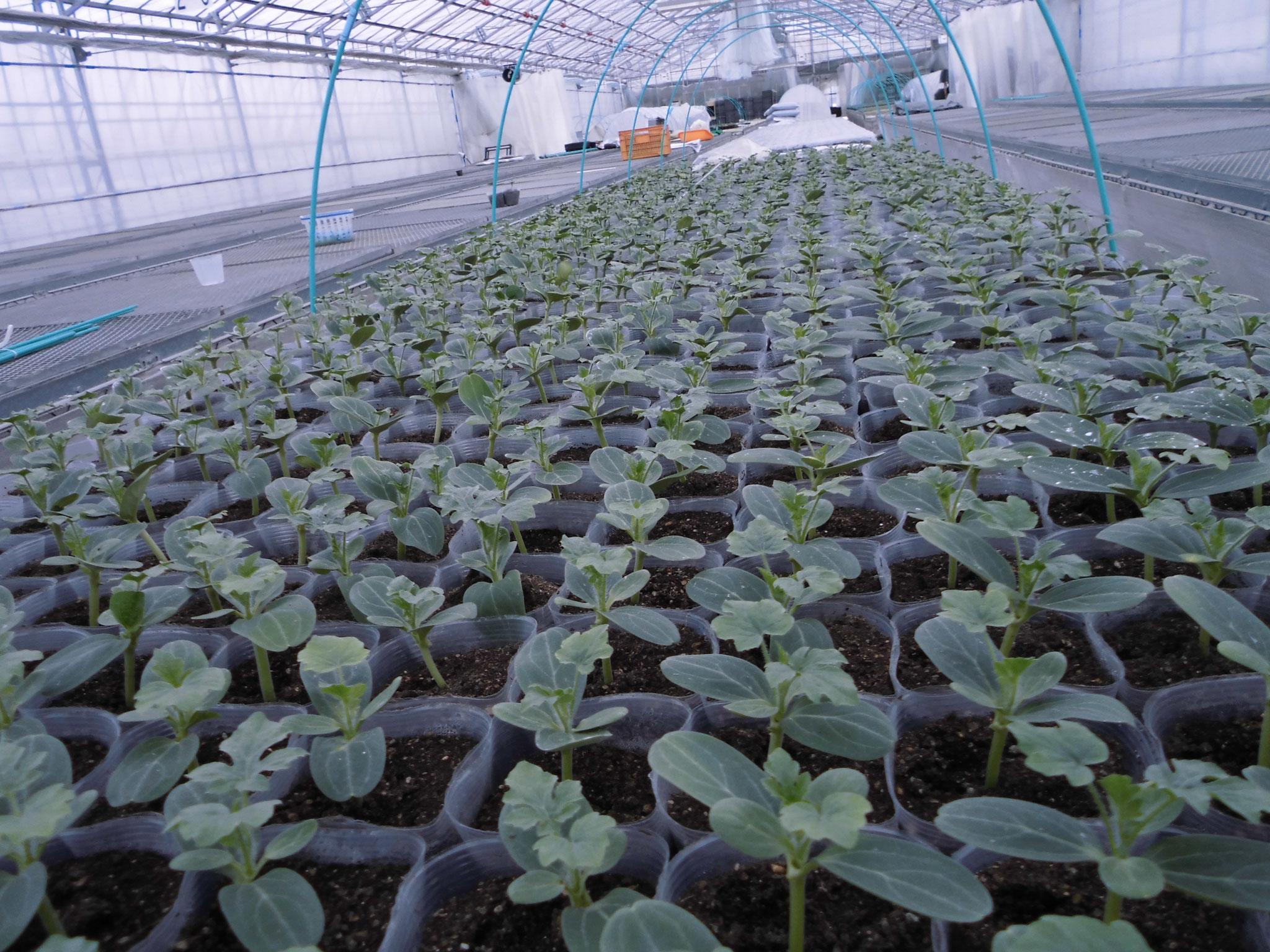 植え付け前の苗たち