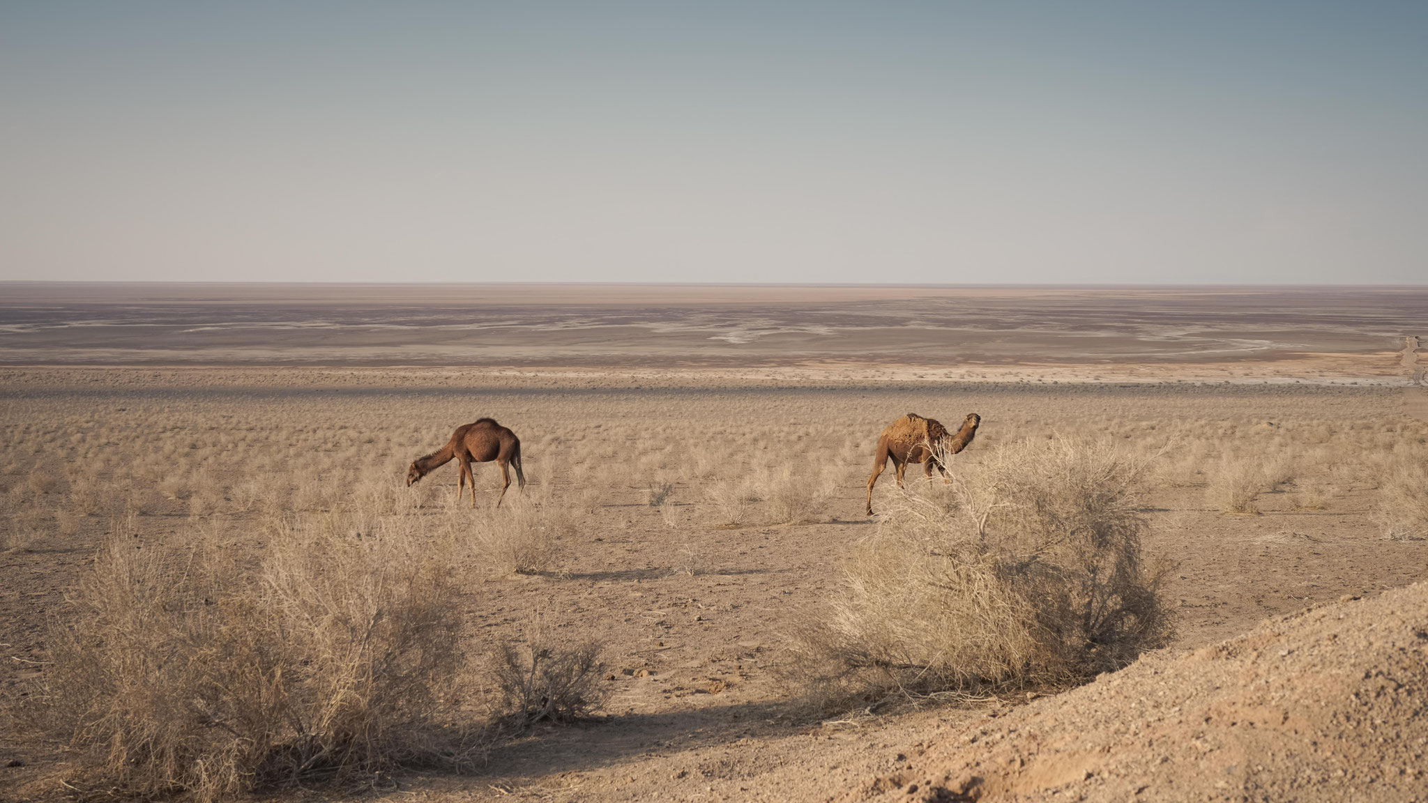 Kamele am Namaksee, einem Salzsee in der Nähe von Kashan im Iran