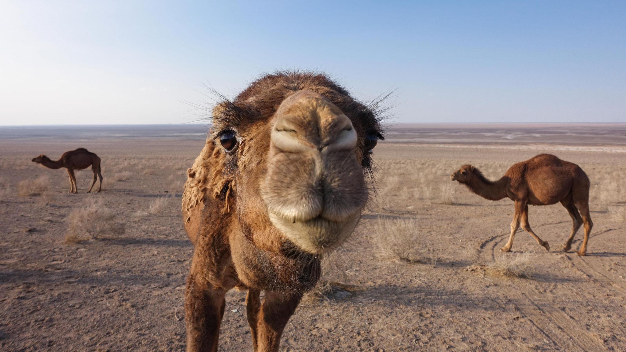 Ein Kamel am Namaksee