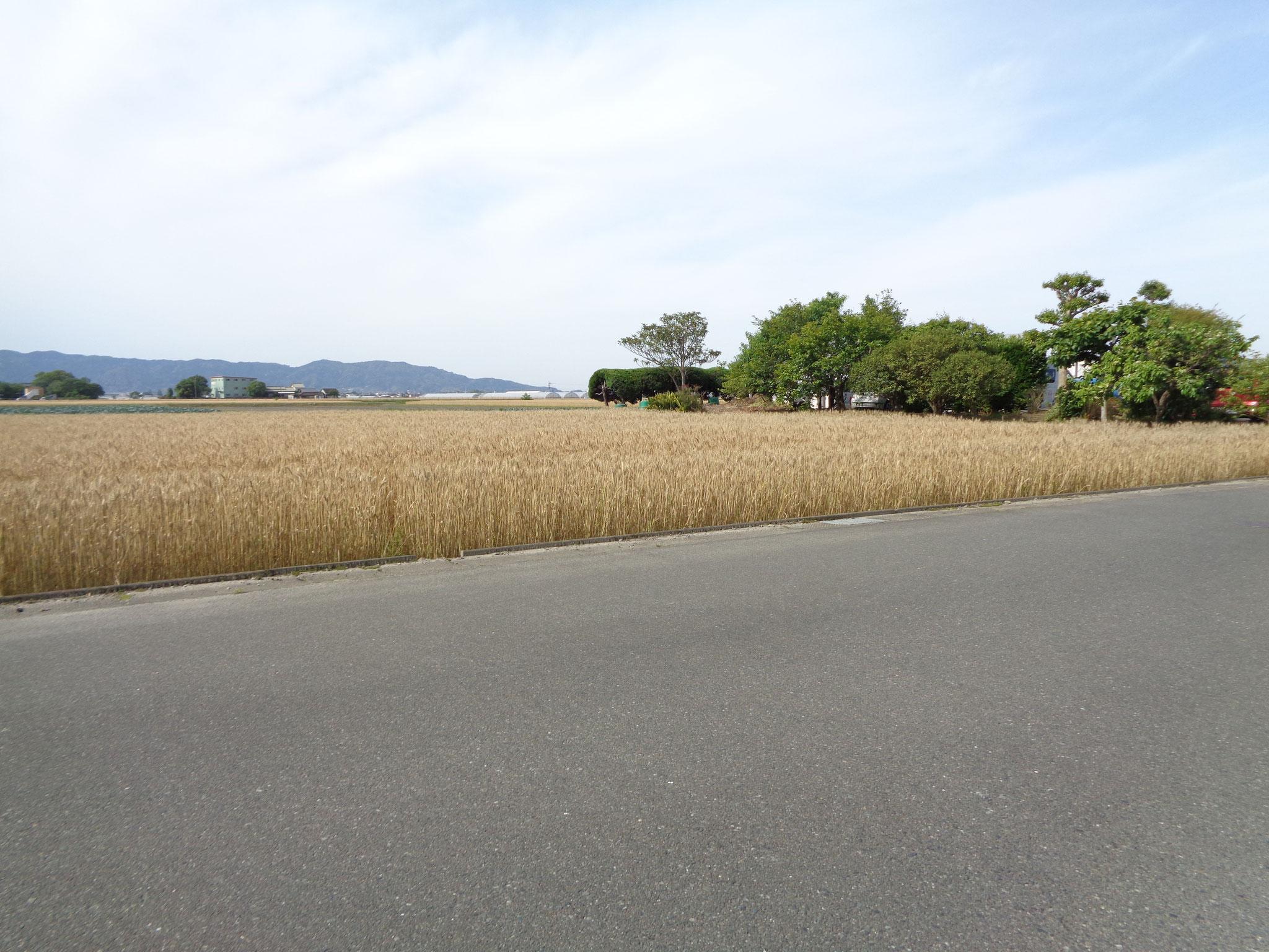 聖母園の周囲はすっかり麦の秋です。