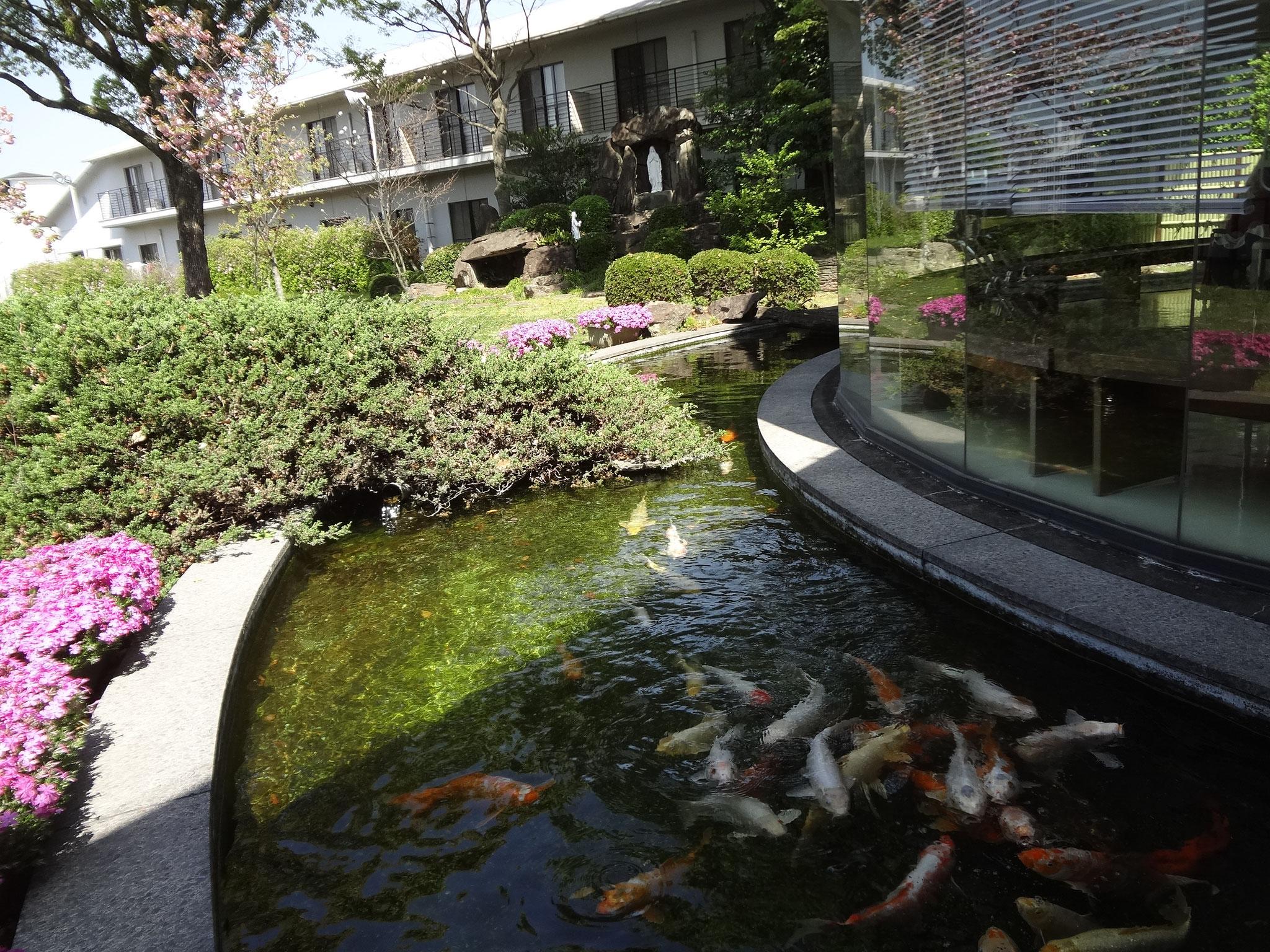 中庭のお池 鯉も元気です。