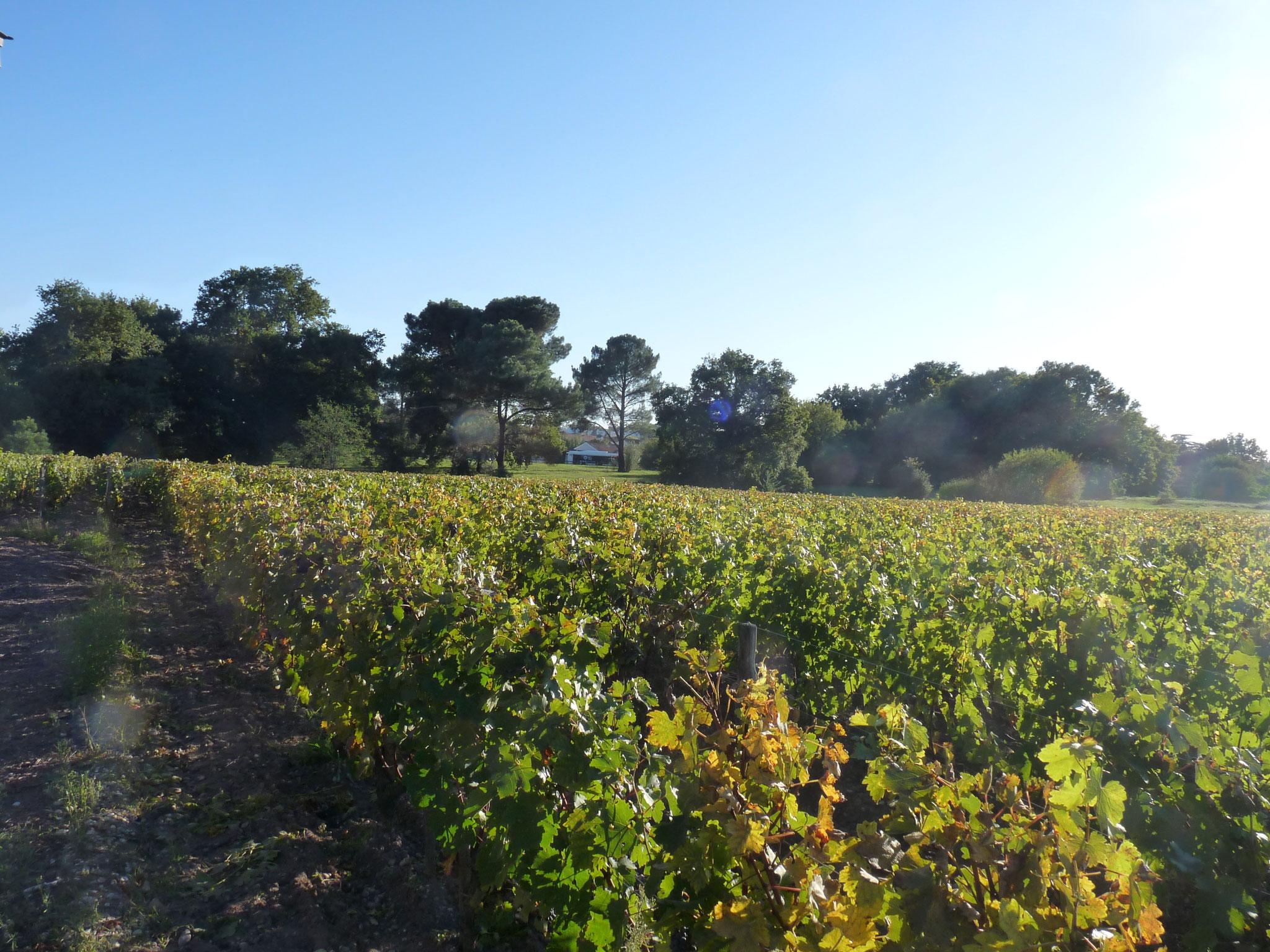 Les vignes du chateau Luchey, à Mérignac ( photo P. Guillot)