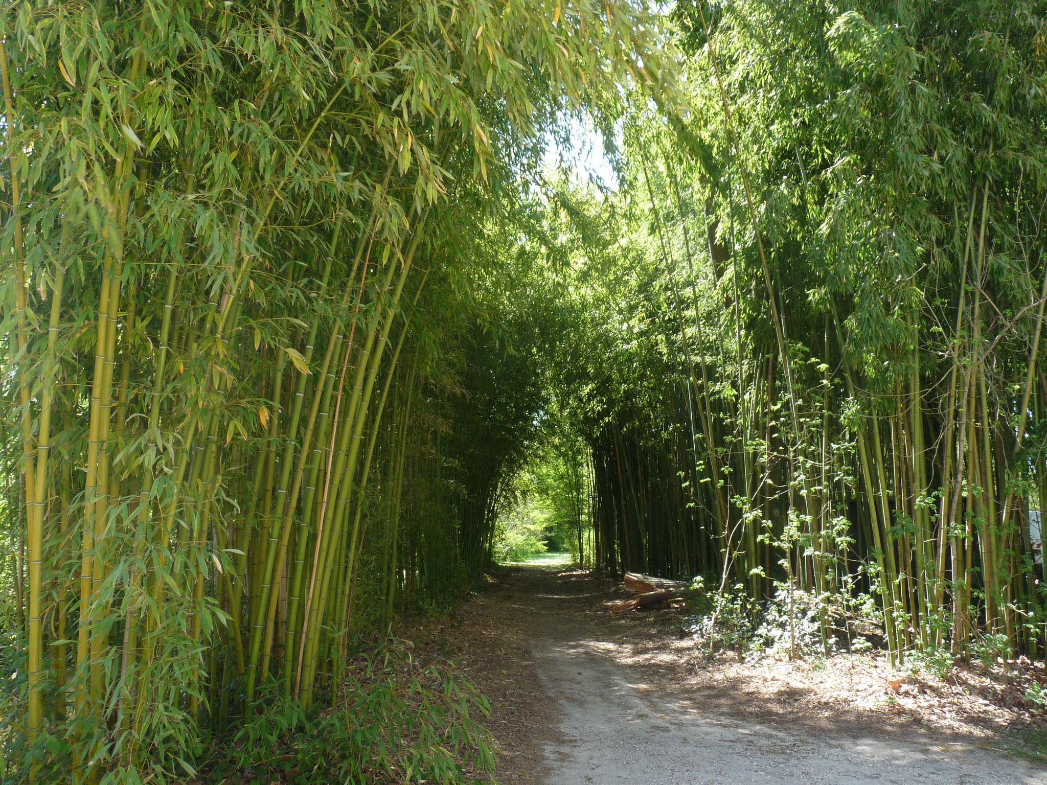 Une voute formée par les nombreux bambous