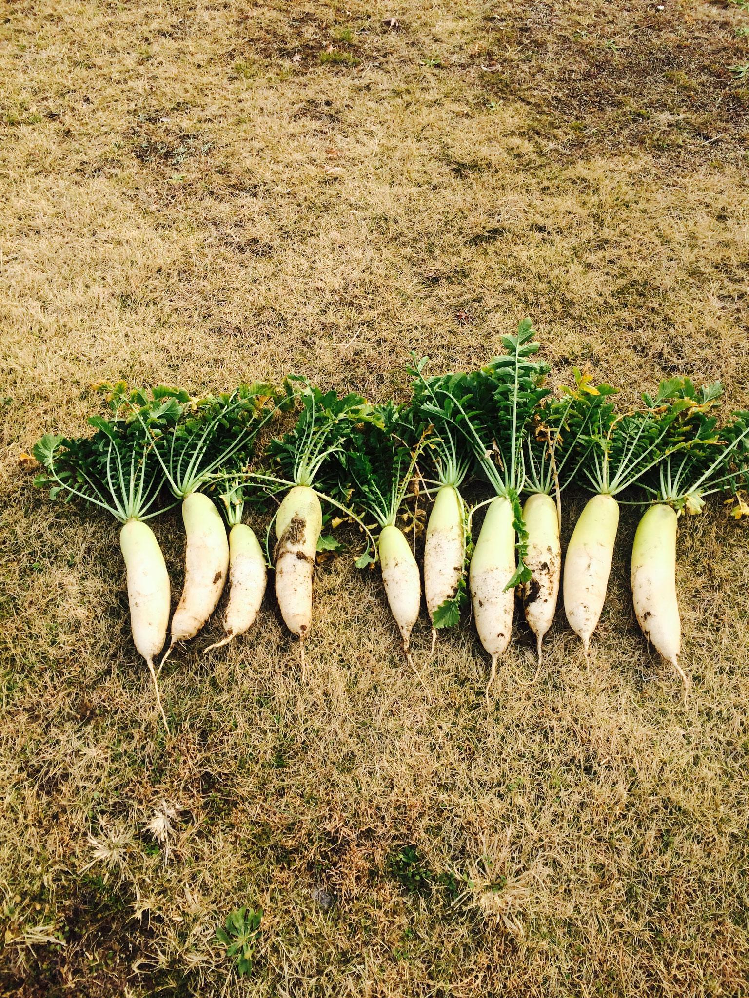 大根は100本収穫!豊作でした!