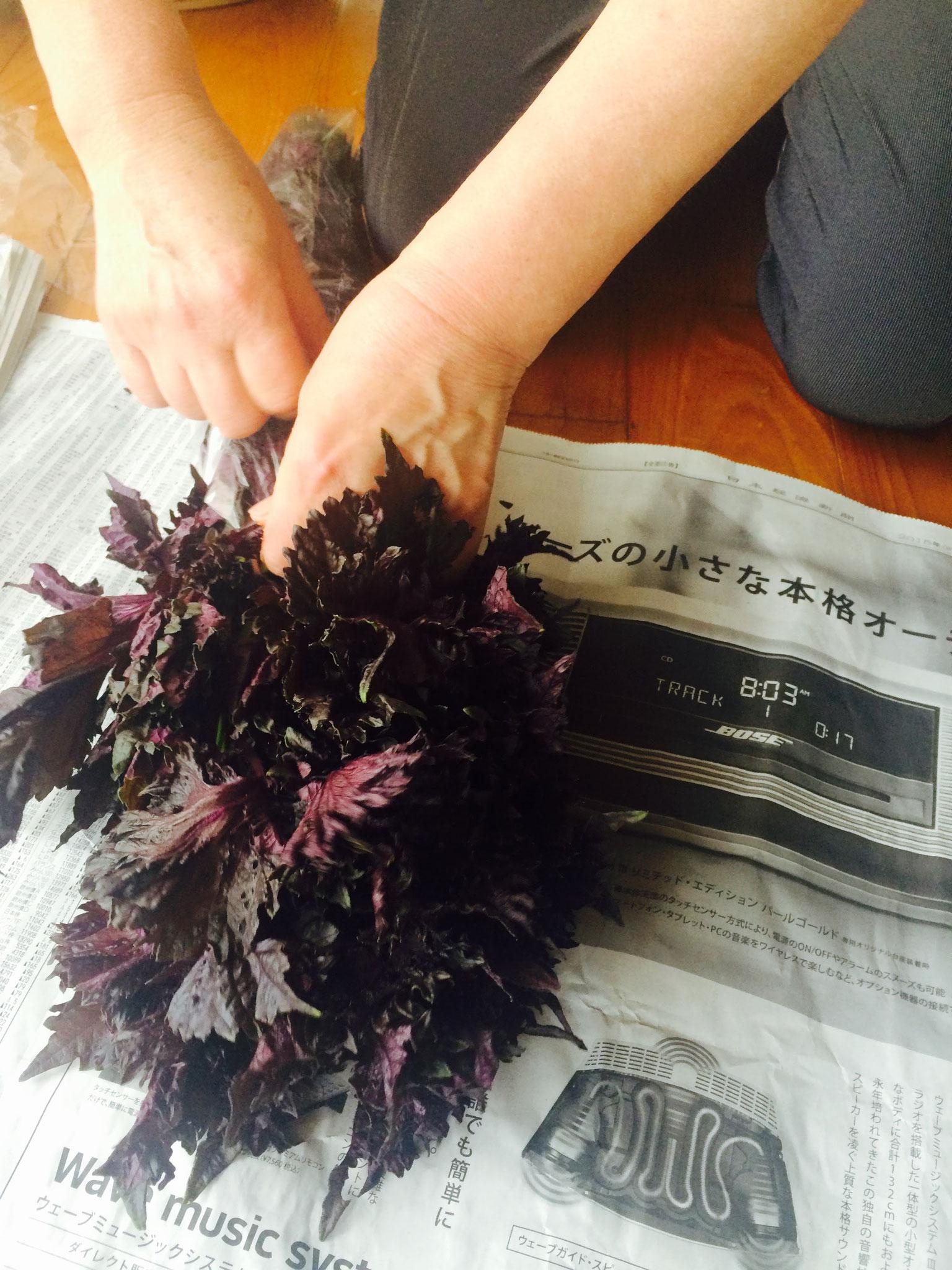 紫蘇を使って梅干しに挑戦。