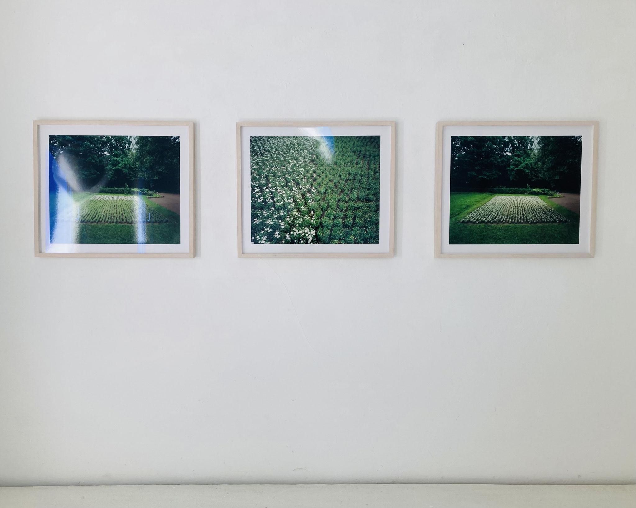 Ursula Neugebauer I von Herzen, mit Schmerzen 2000 I Photographie, 3000 Margeritenstauden auf einem Feld von 200qm mit abgezupften Blütenblätter,  je 60 cm x 80 cm, Edition 3