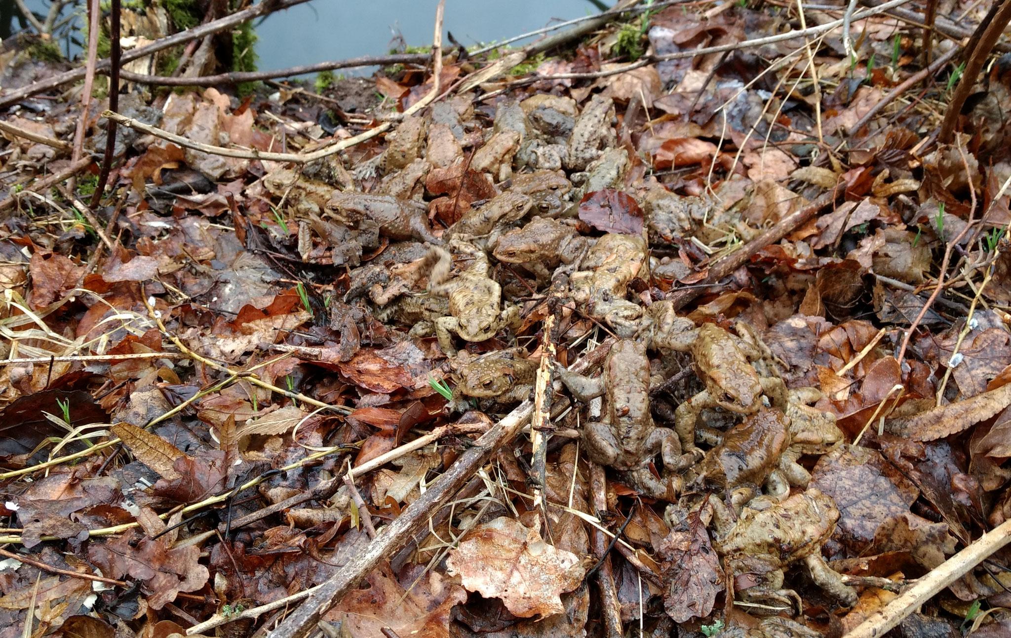 18.03.2017, Erdkröten an den Hirschbornteichen