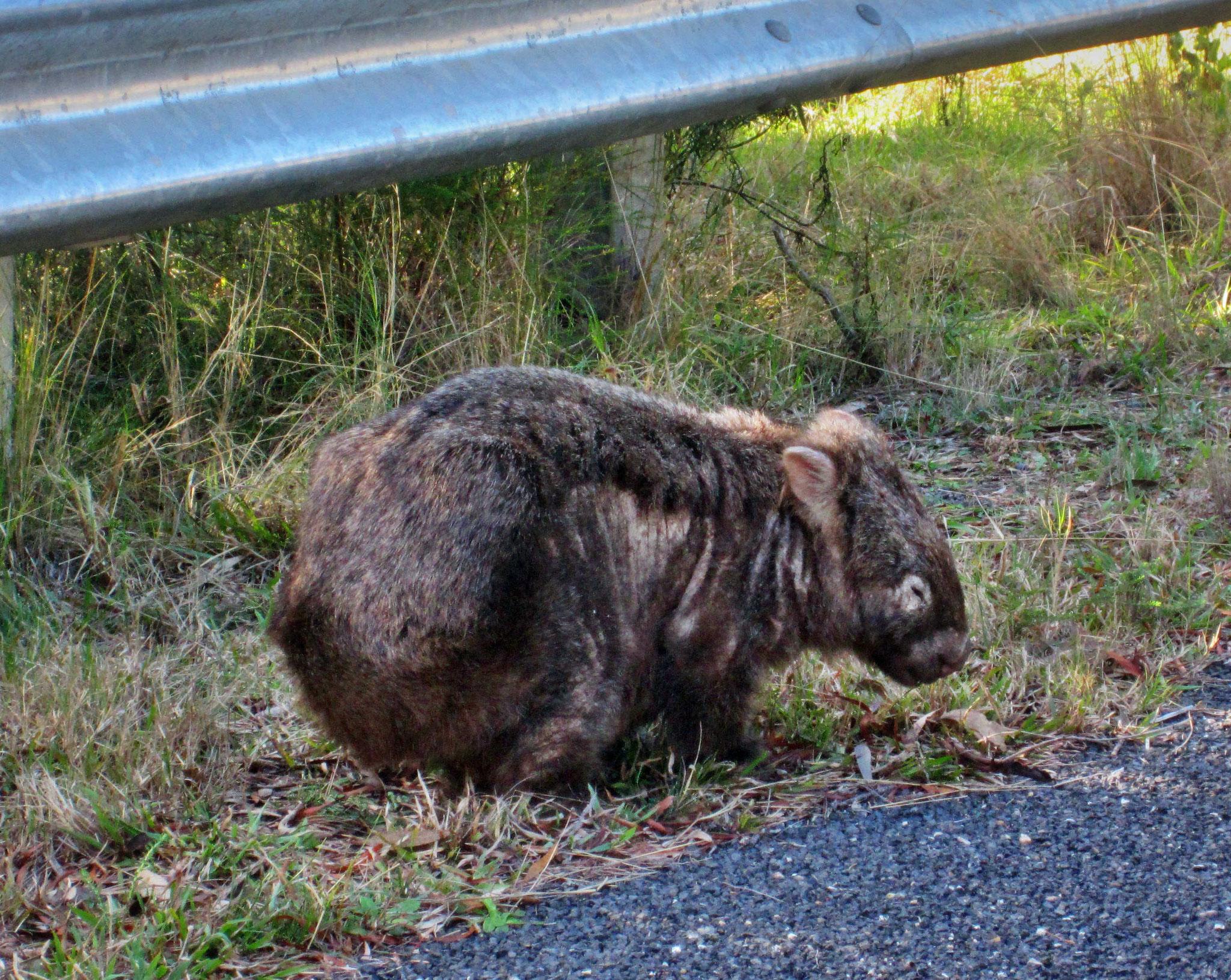 Unser erster Wombat