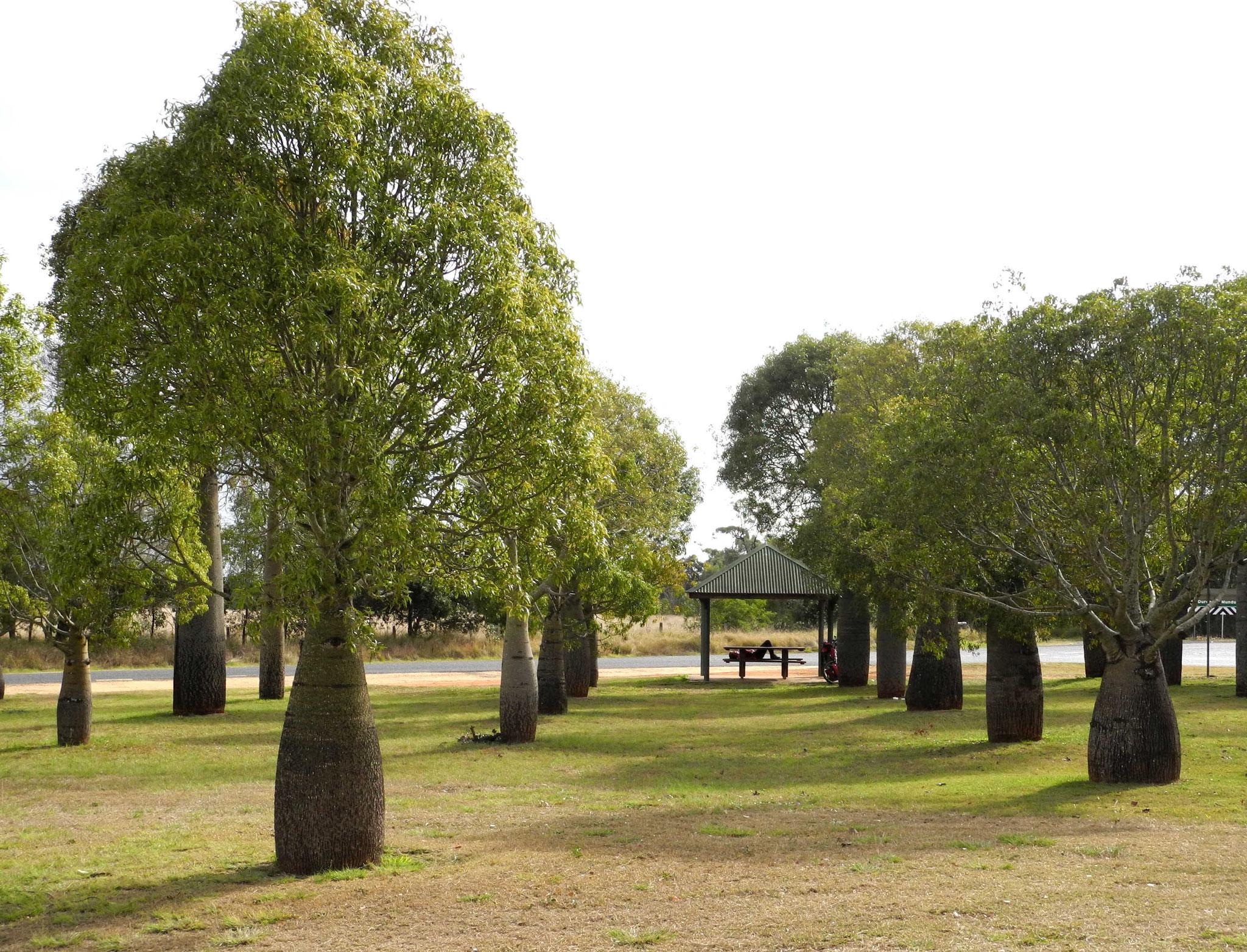 Bottletrees - Flaschenbäume