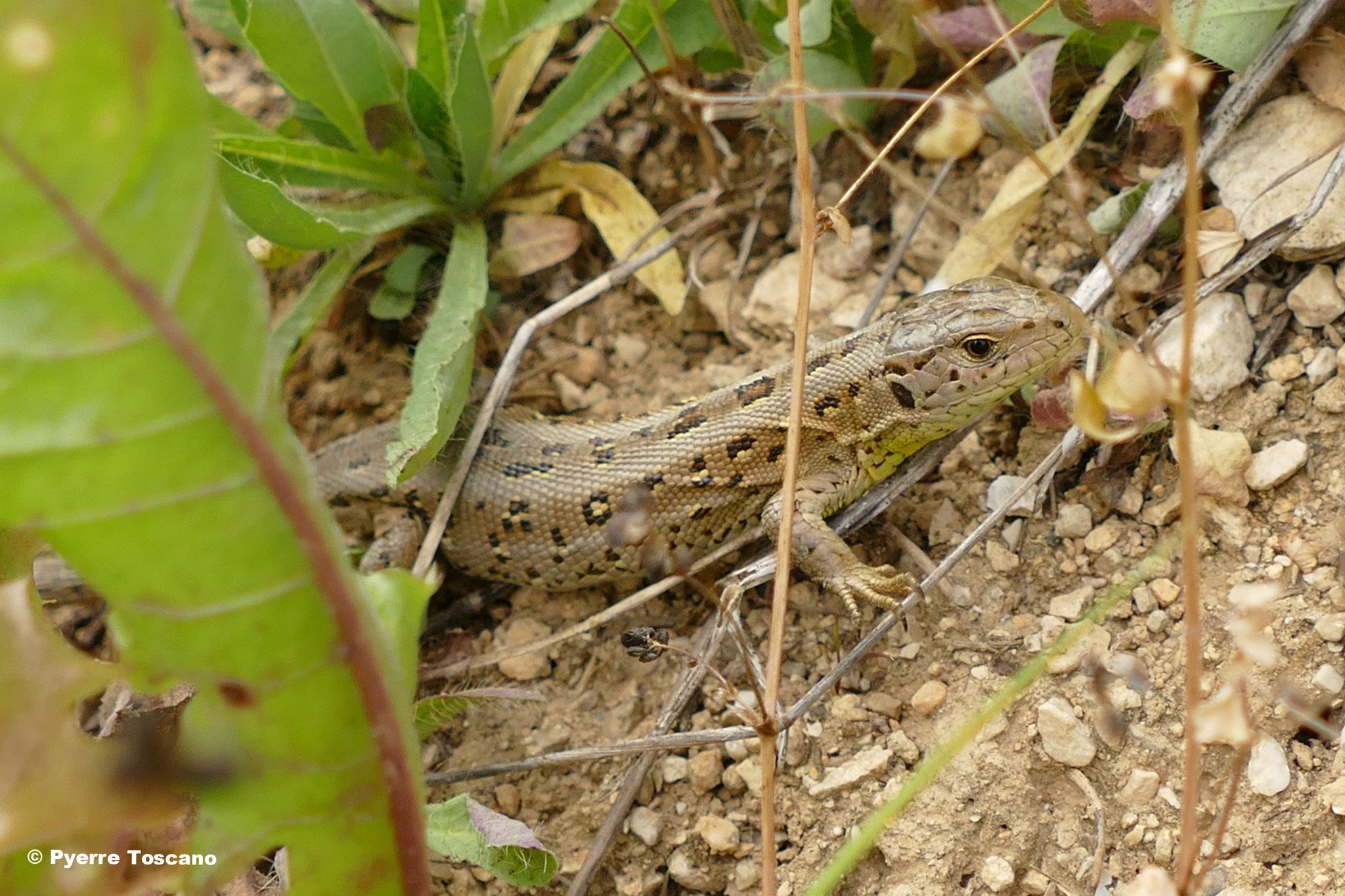 Zauneidechse, Weibchen