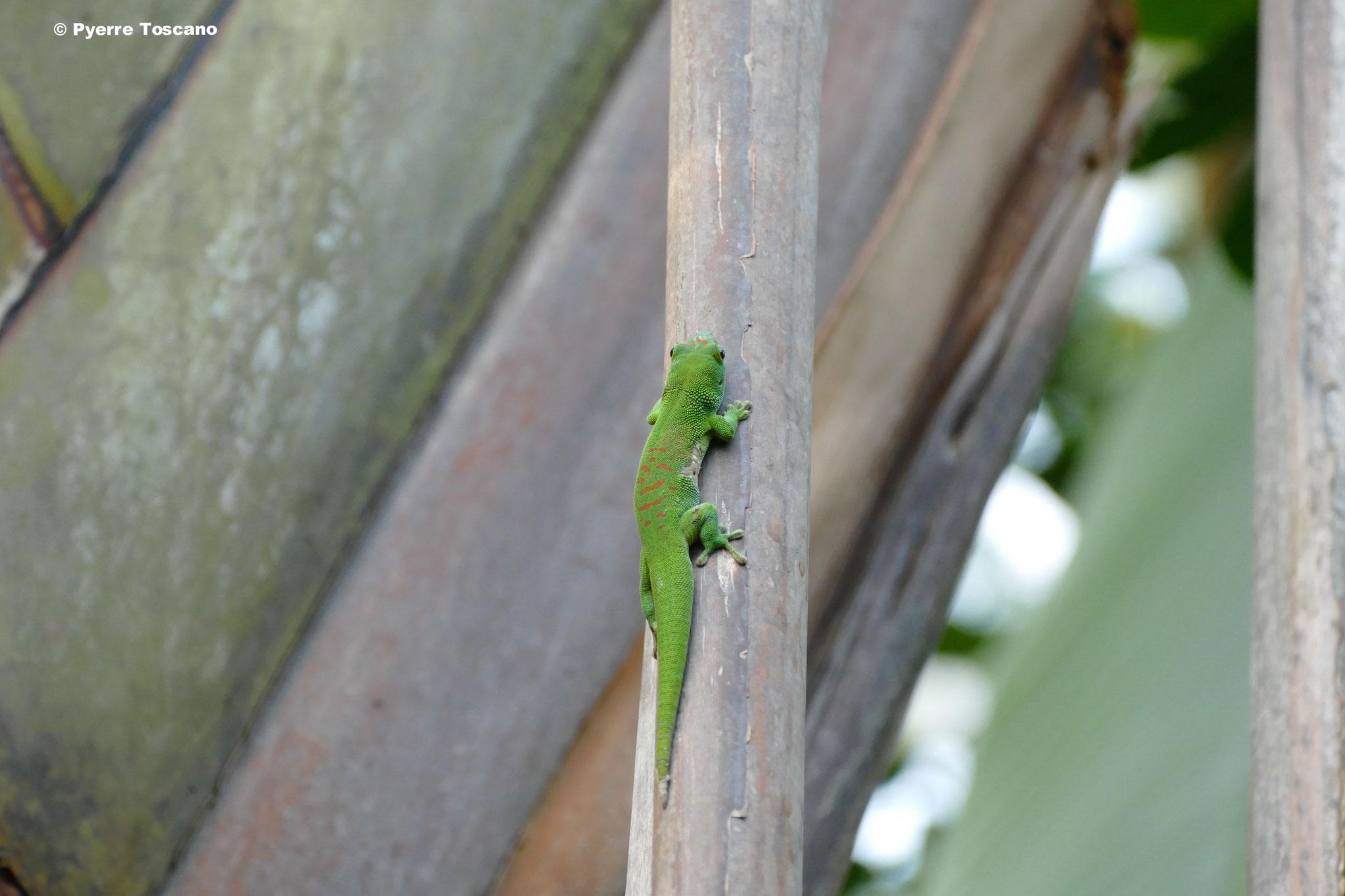 Kleines P. grandis Weibchen
