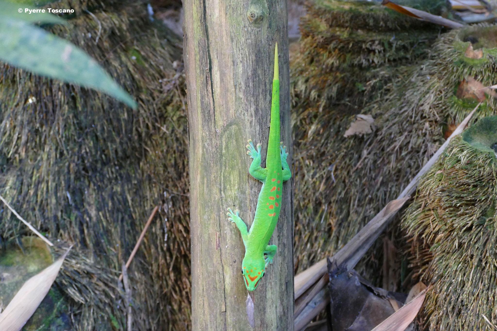 P. grandis sind immer wieder zu sehen, hier ein schönes Männchen...