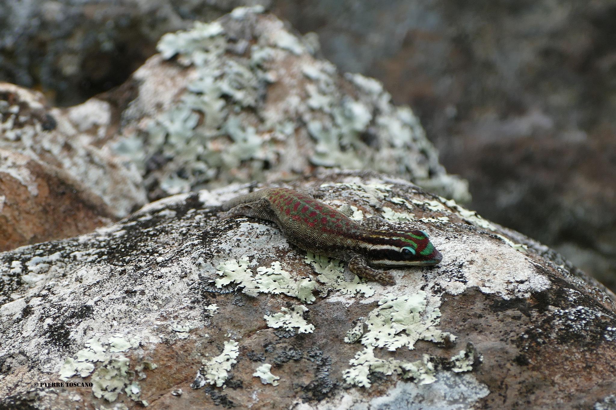 P. ornata auf Felsen