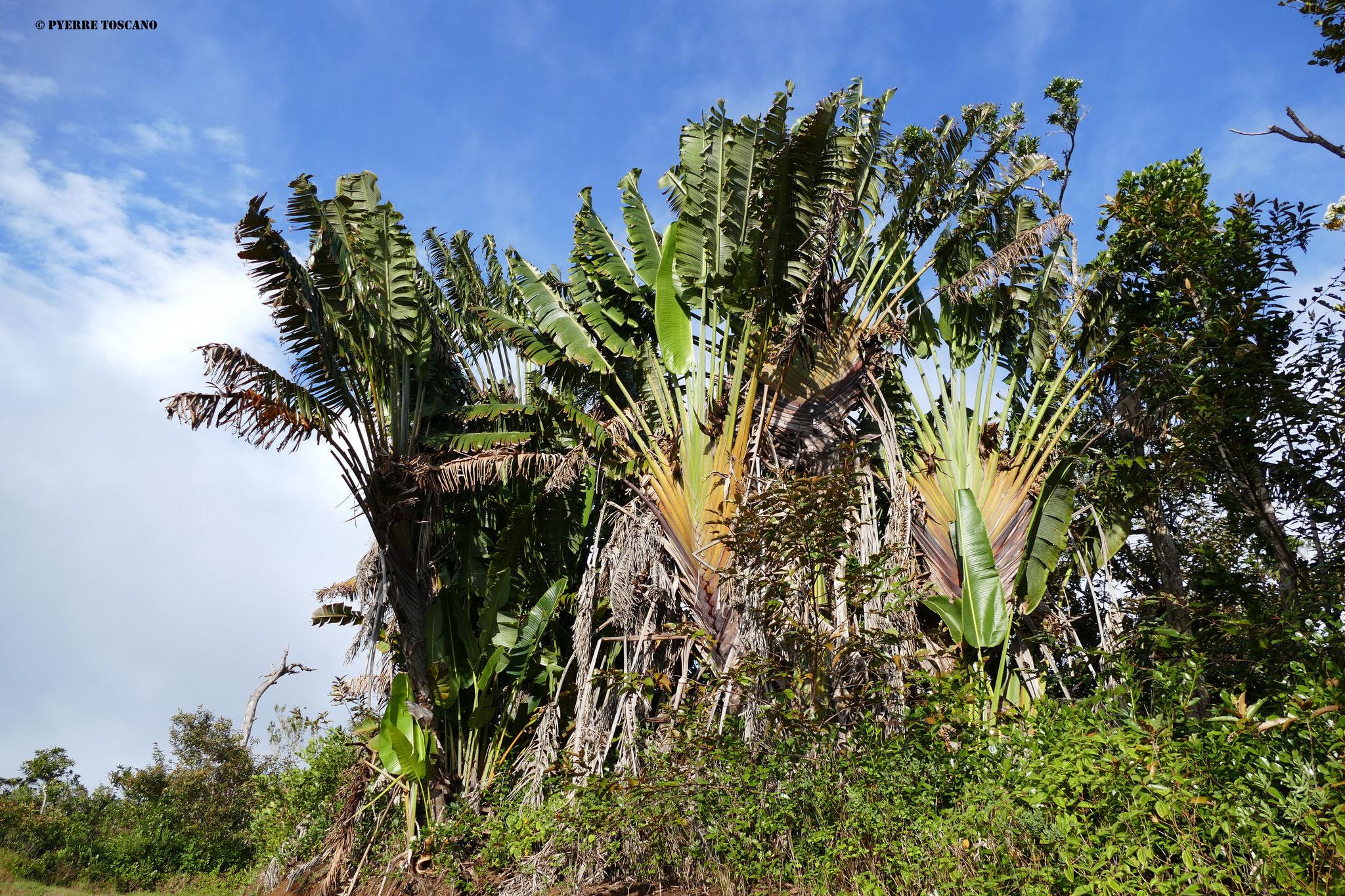 Habitat von P. cepediana