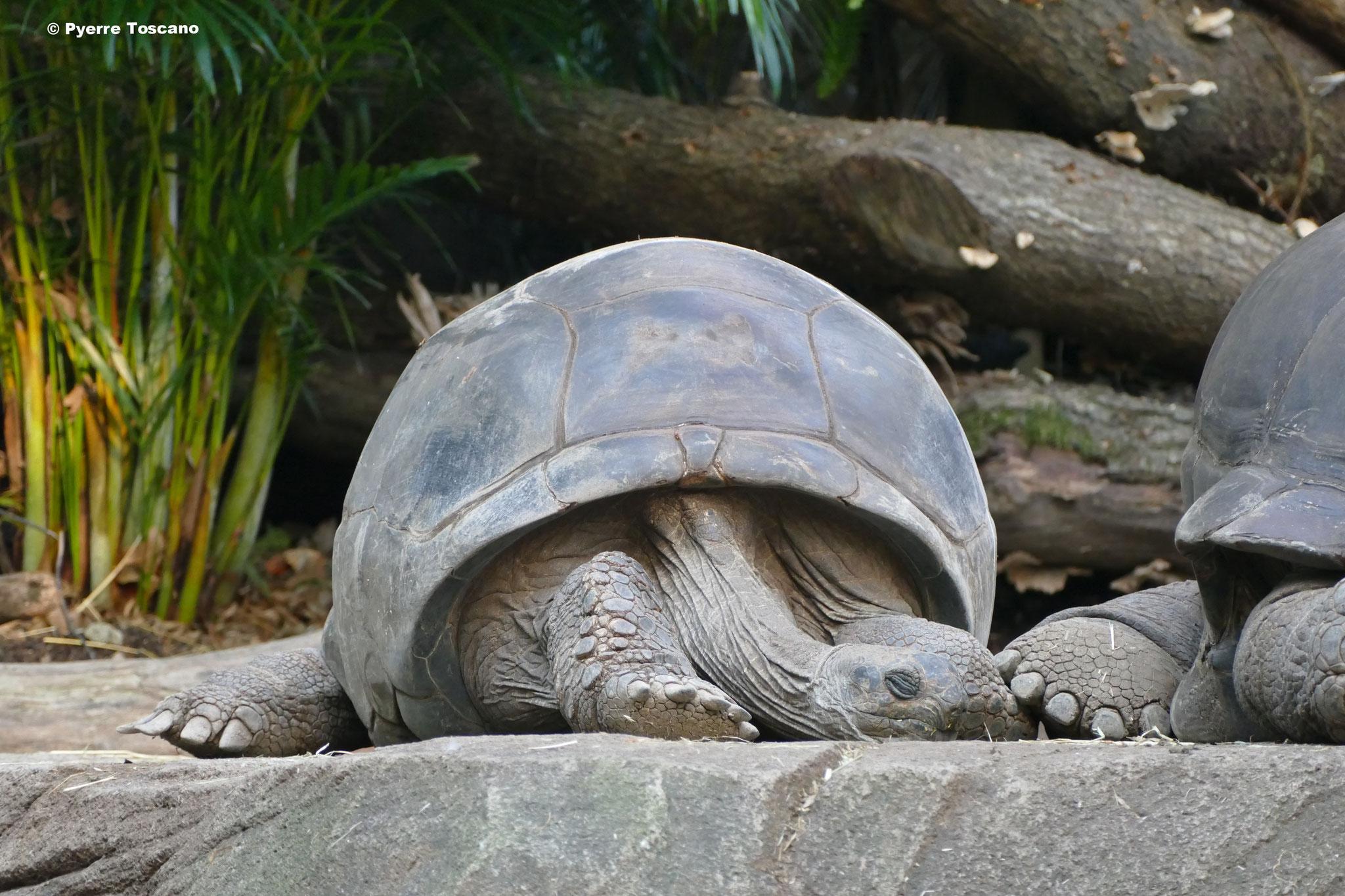 Aldabrachelys gigantea beim schlafen
