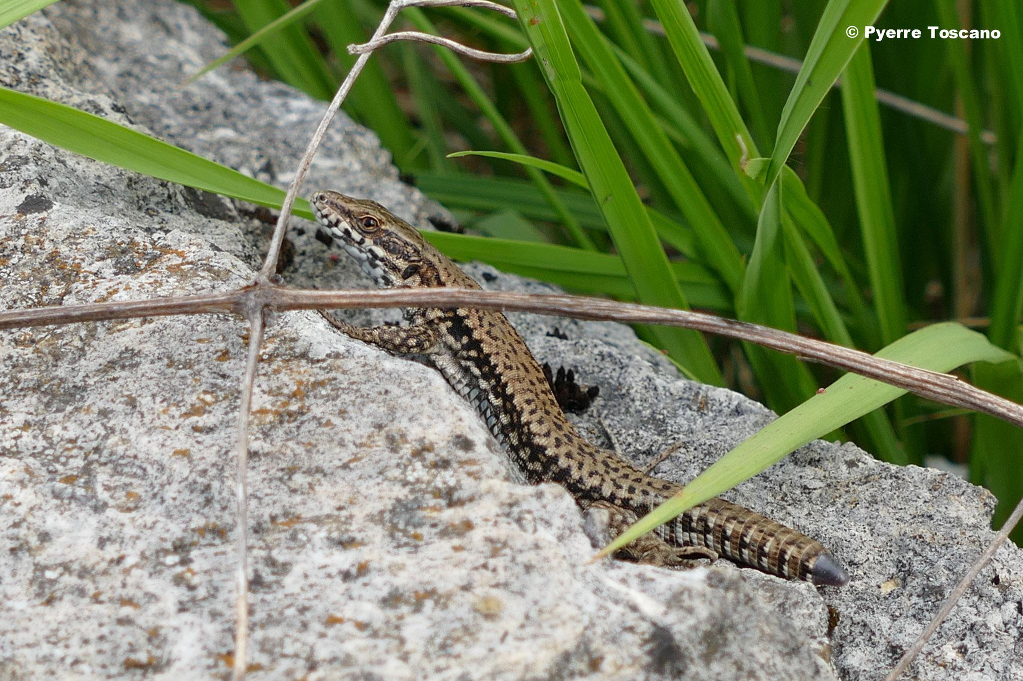 Mauereidechse, Männchen