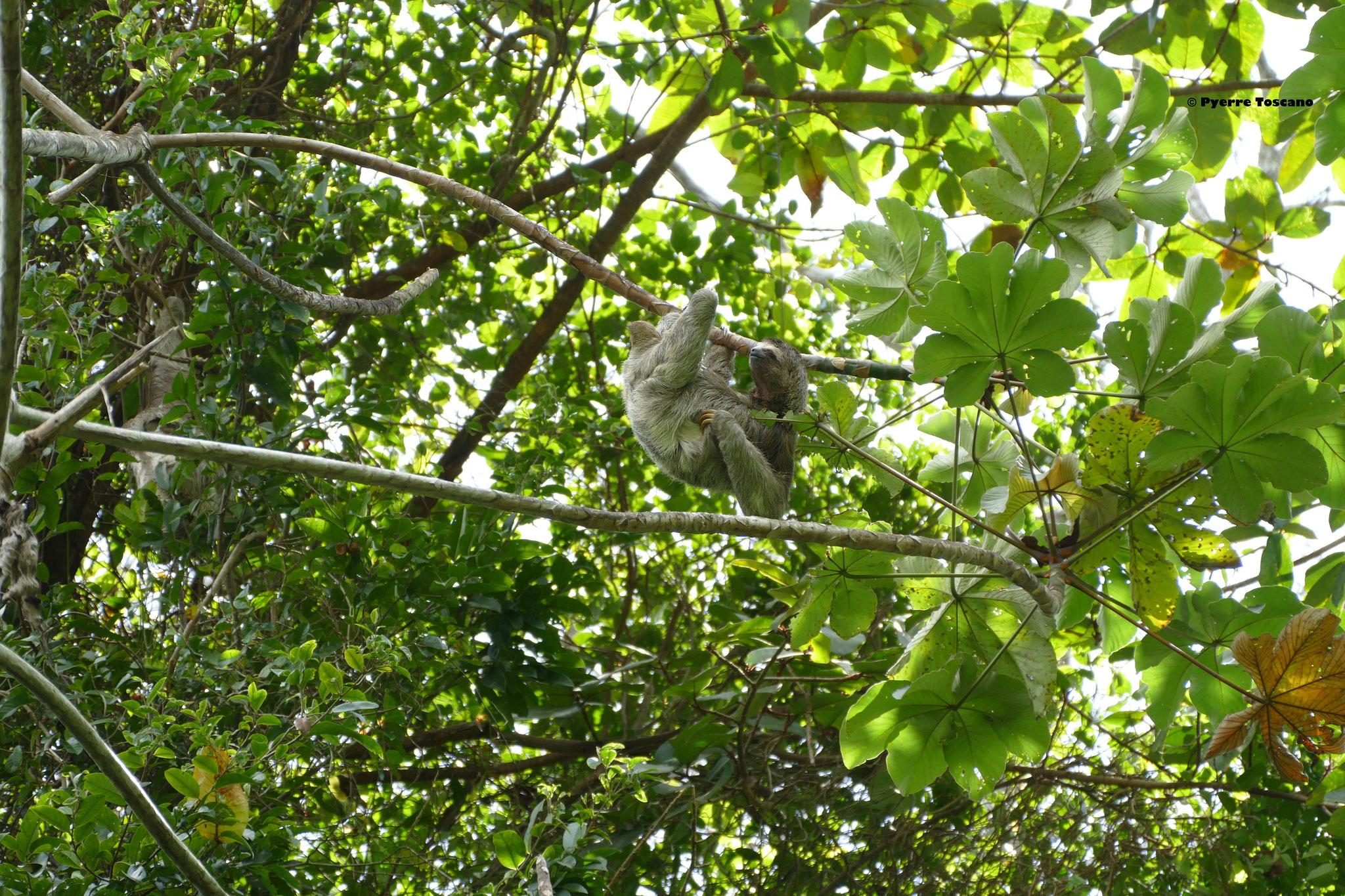 Bradyous variegatus