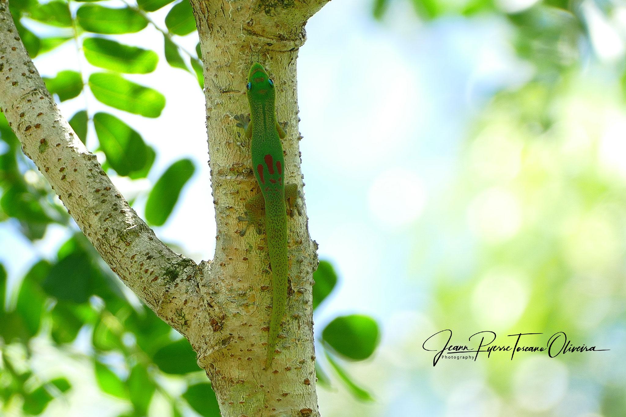 Phelsuma l. laticauda