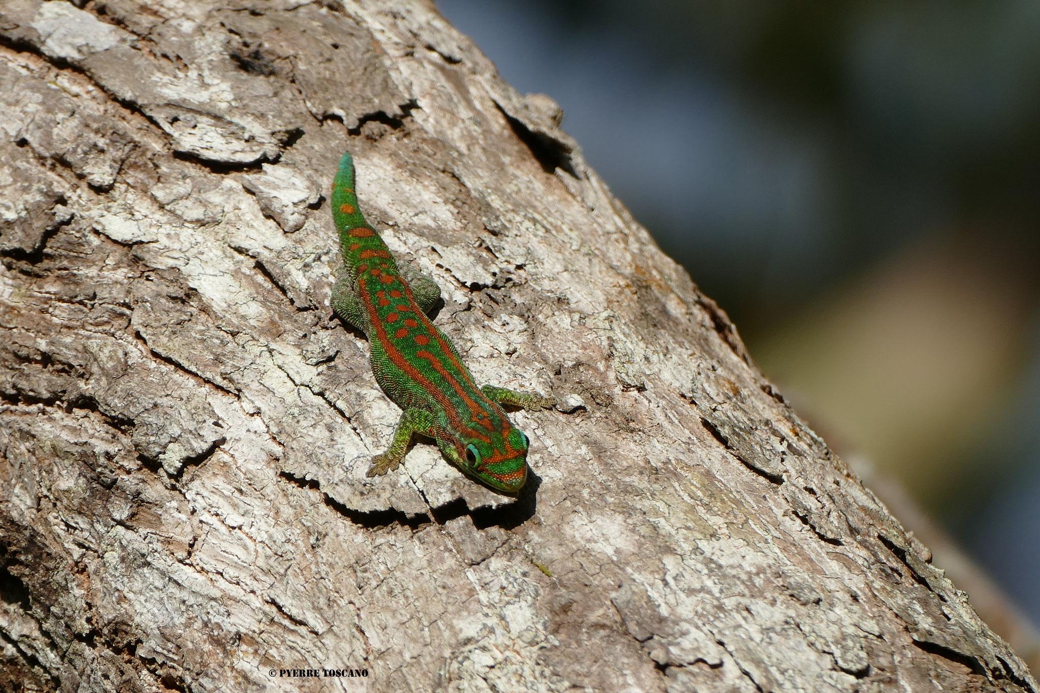 P. guimbeaui, Ebony Forest