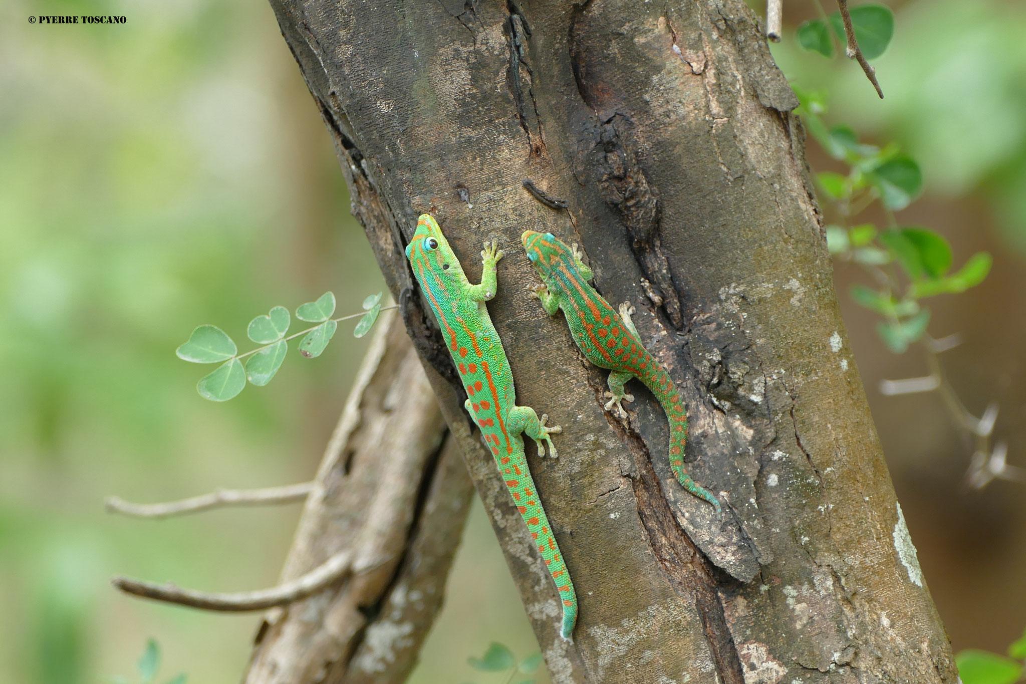 P. guimbaui Paar