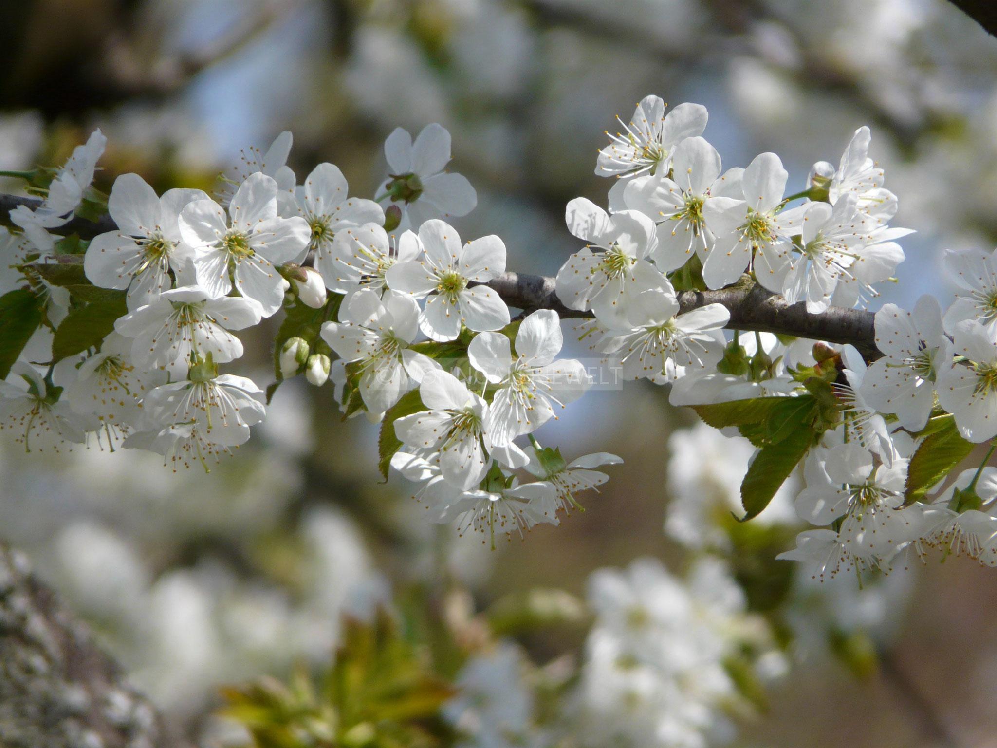 Weißes Blütenmeer