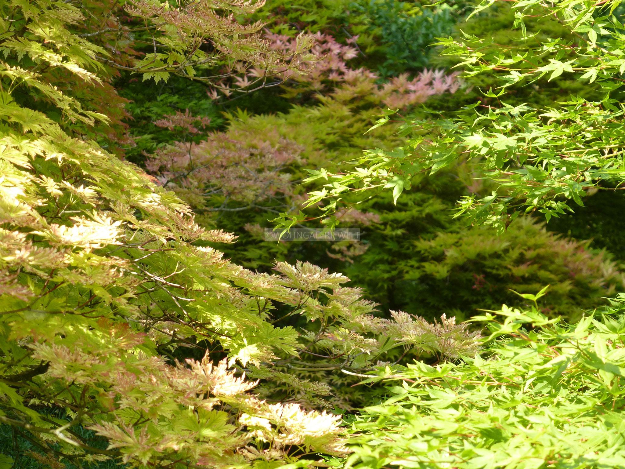 Japanischer Ahornwald
